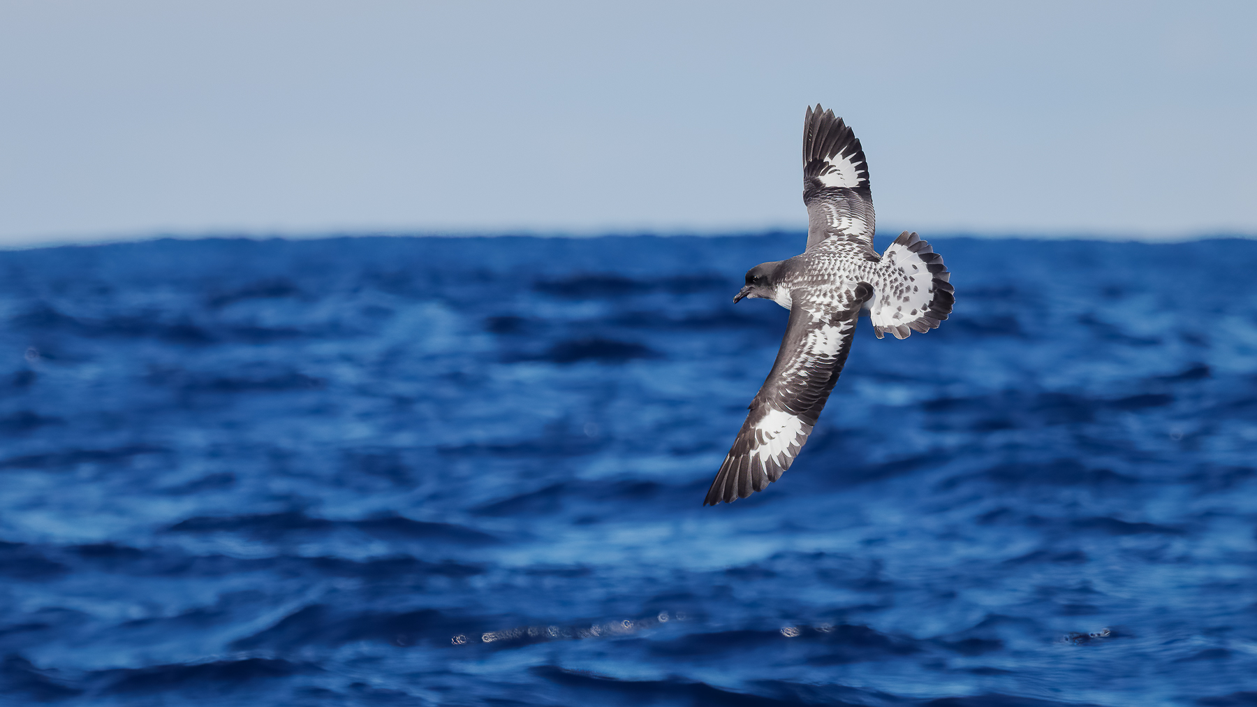 Cape Petrel (Image ID 42306)