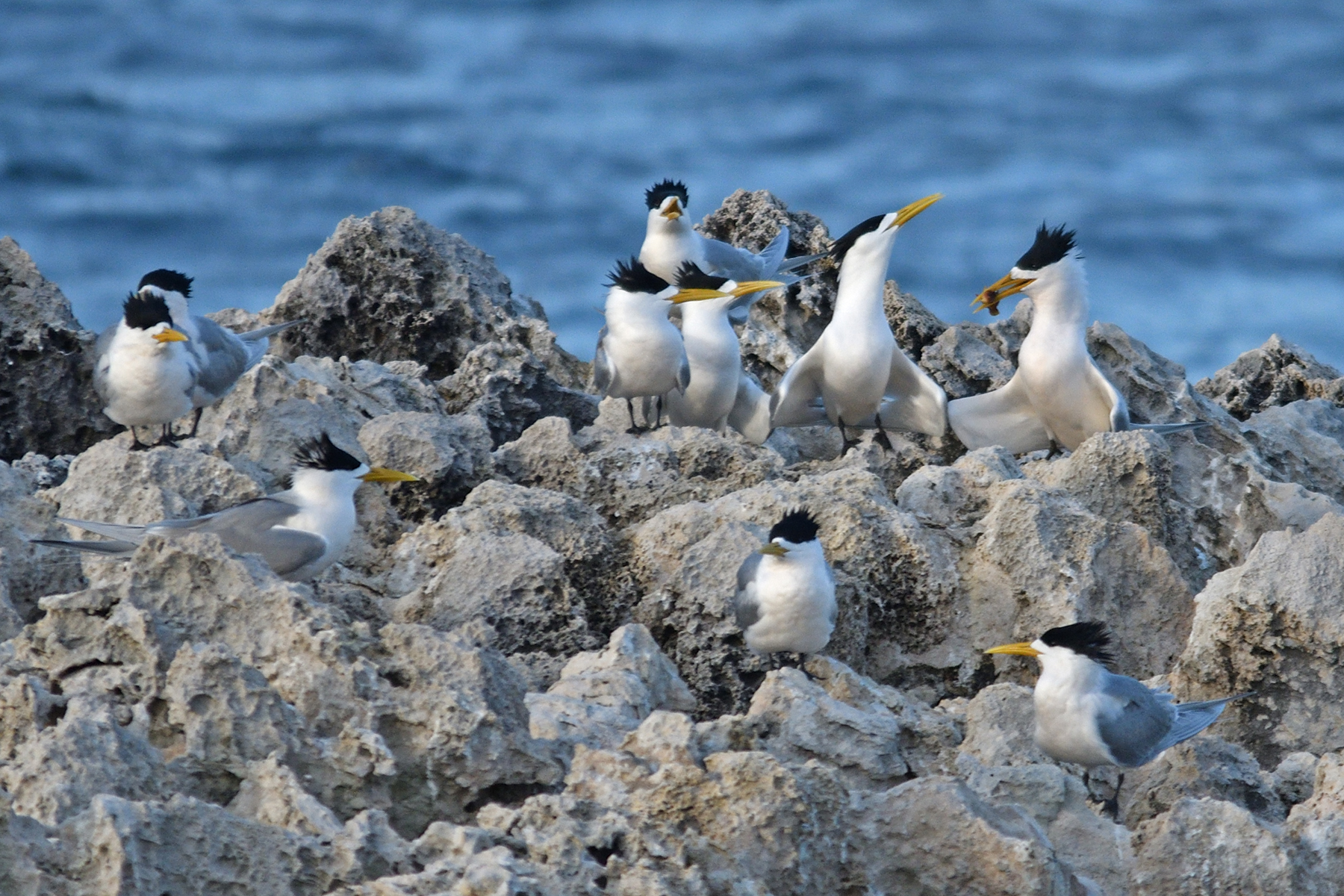 Greater Crested Tern (Image ID 42359)