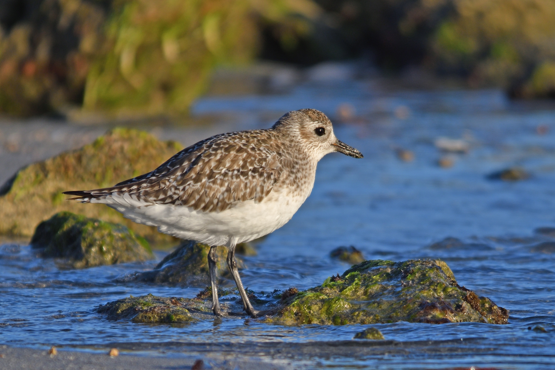 Grey Plover (Image ID 42422)