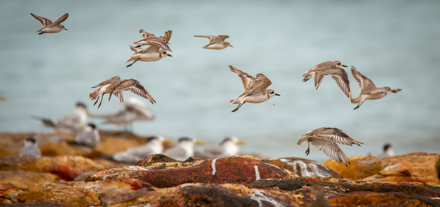 Greater Sand Plover (Image ID 42417)