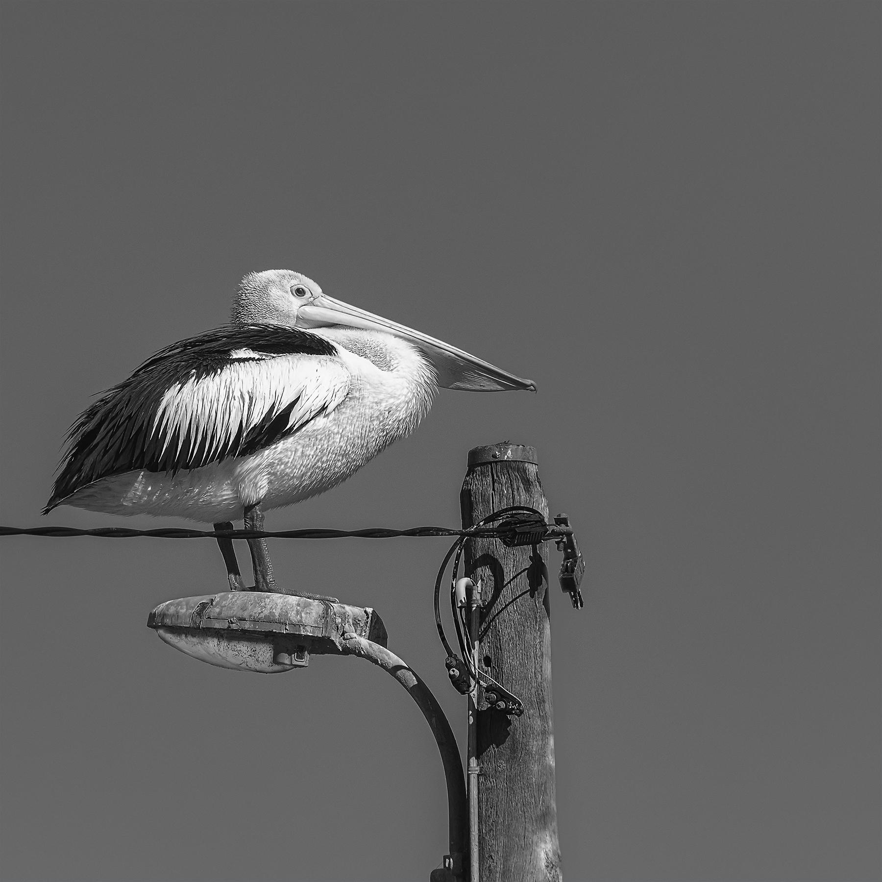 Australian Pelican (Image ID 42297)