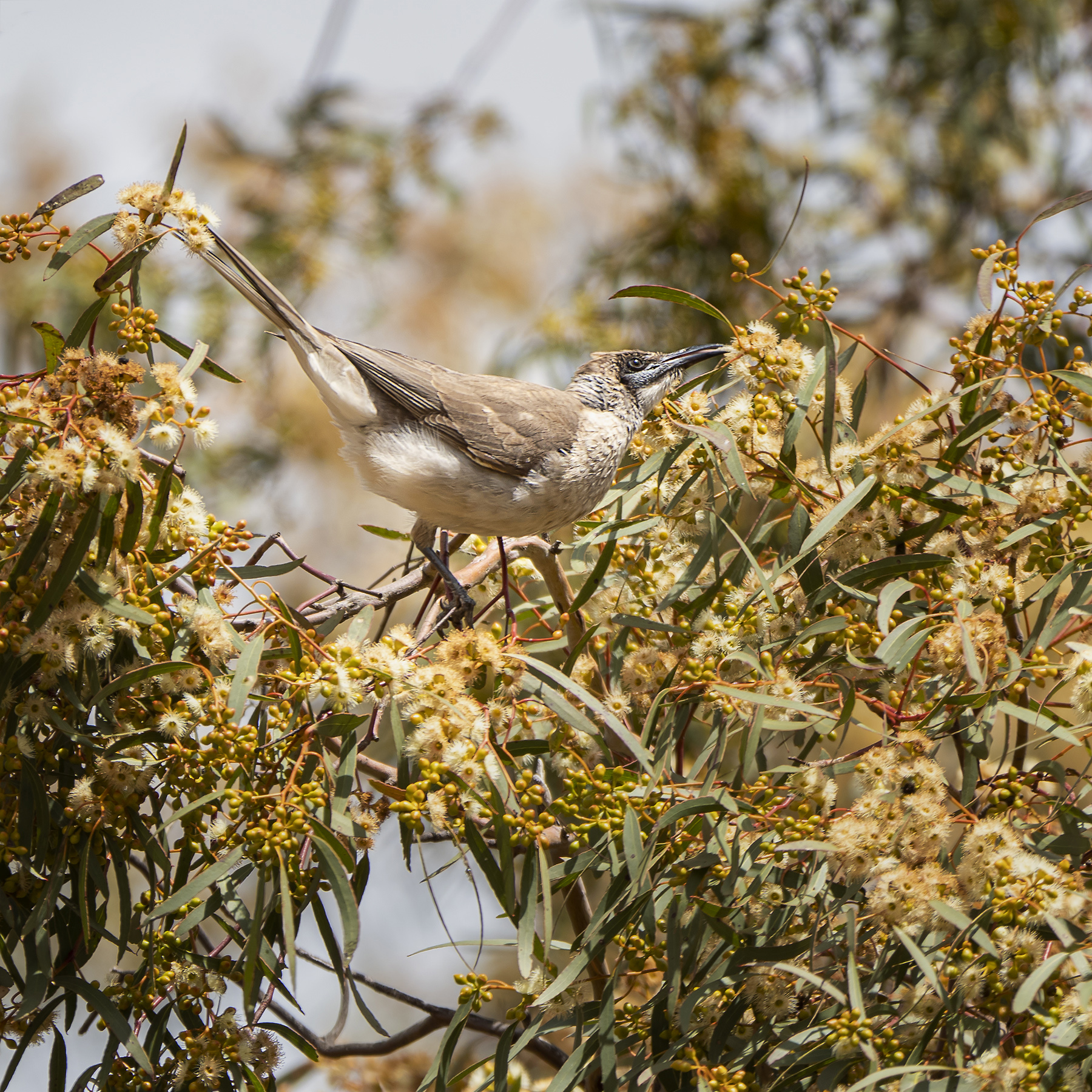 Little Friarbird (Image ID 42256)