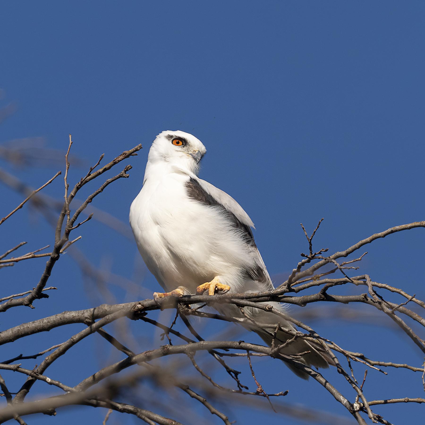 Black-shouldered Kite (Image ID 42428)