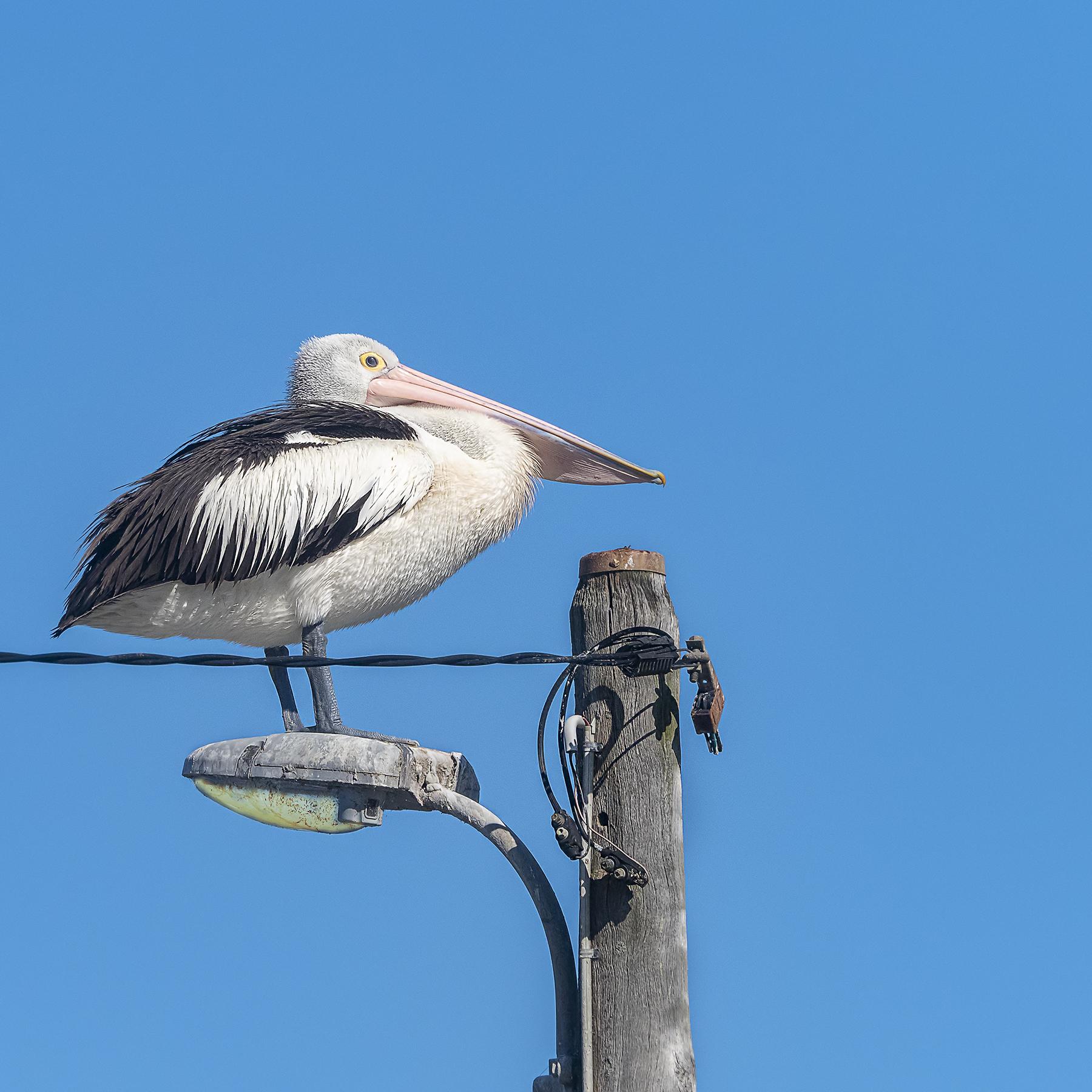 Australian Pelican (Image ID 42296)