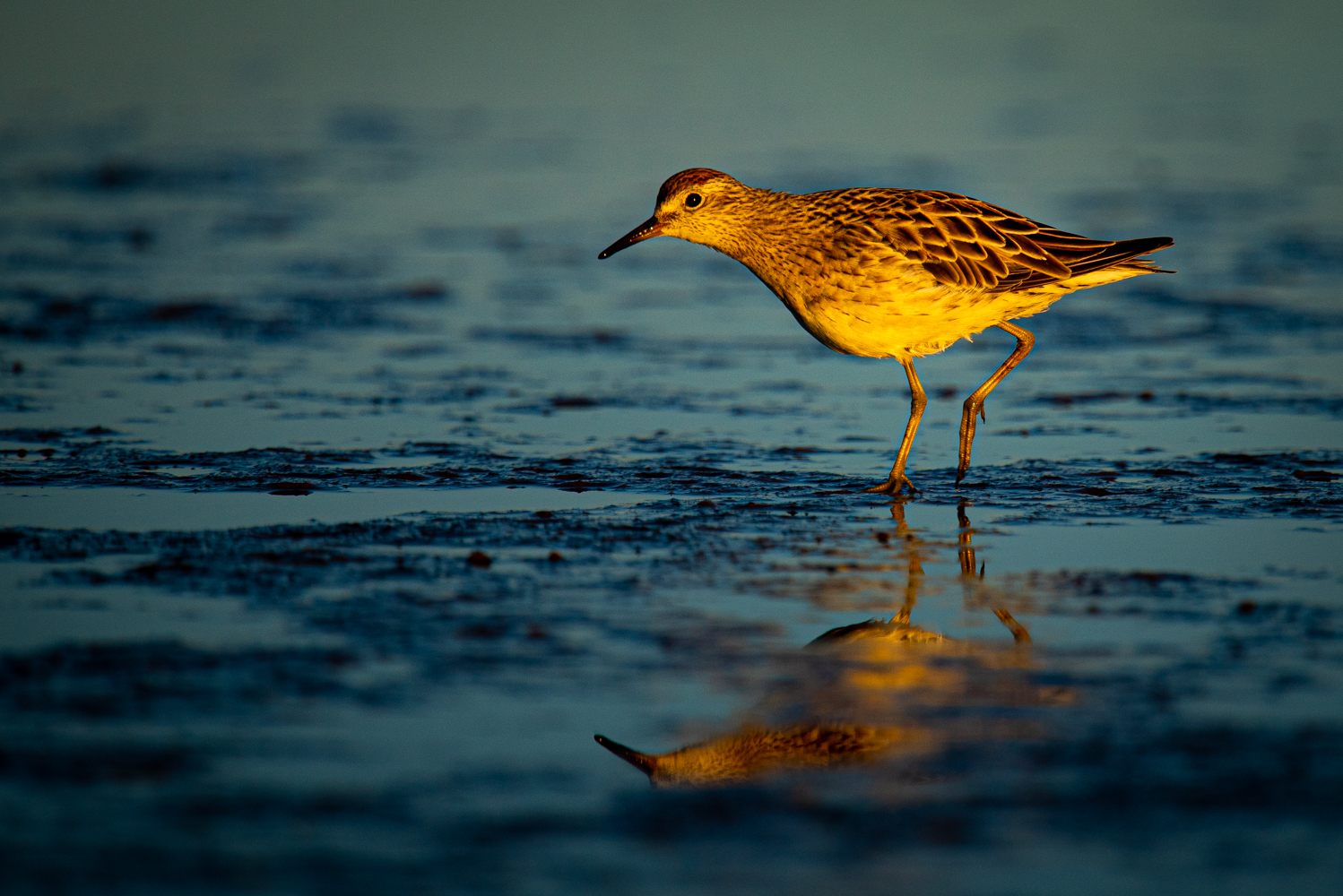Sharp-tailed Sandpiper (Image ID 42521)
