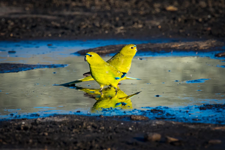 Elegant Parrot (Image ID 42519)