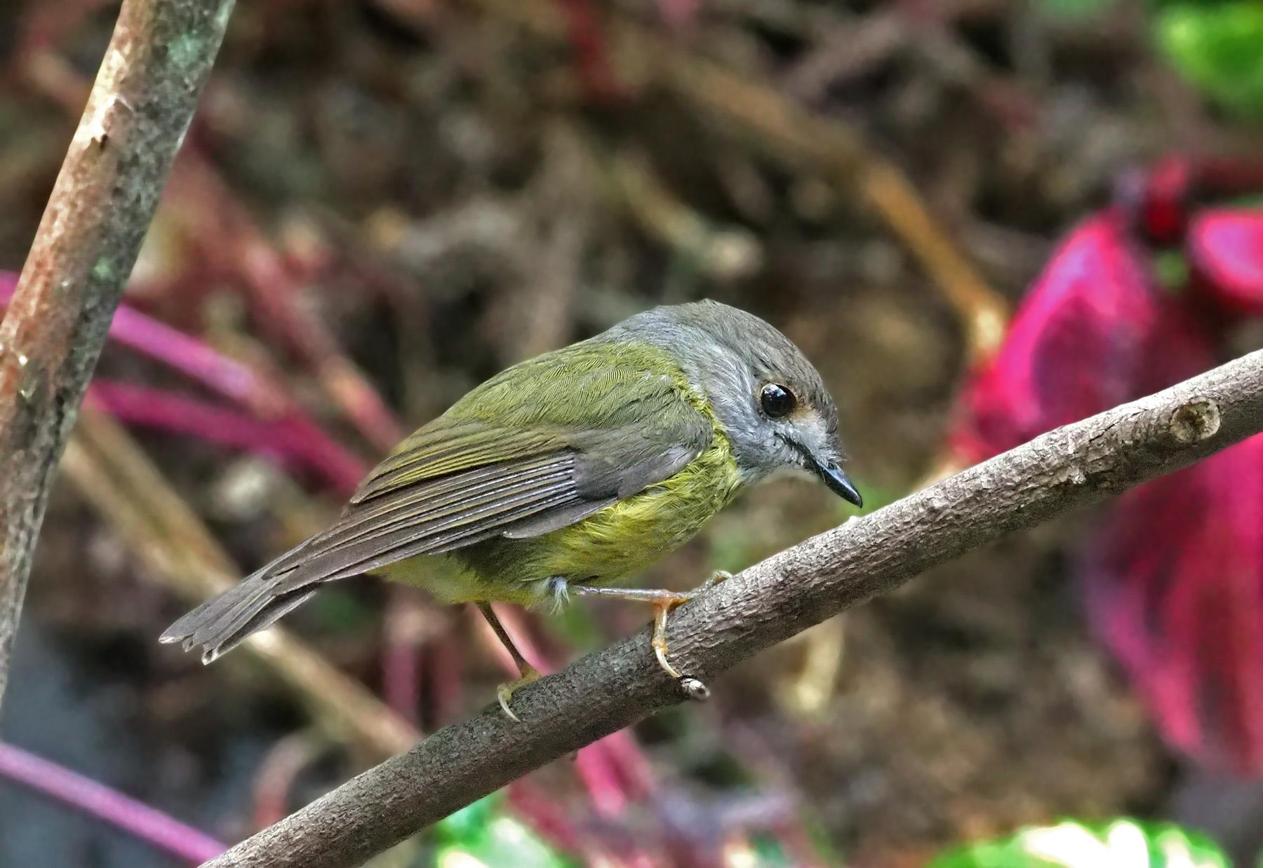 Pale-yellow Robin (Image ID 42617)
