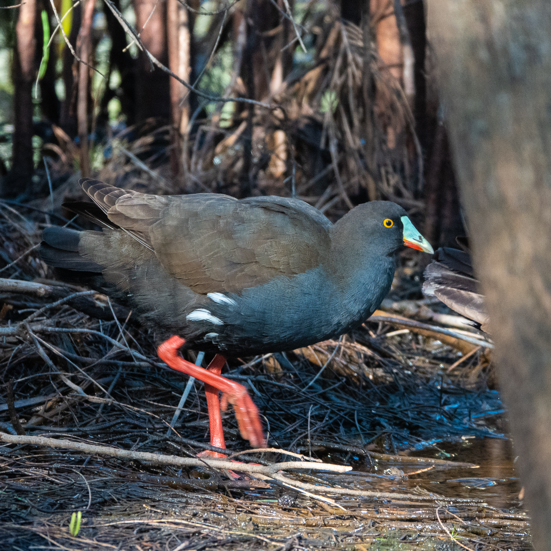 Black-tailed Native-hen (Image ID 42448)