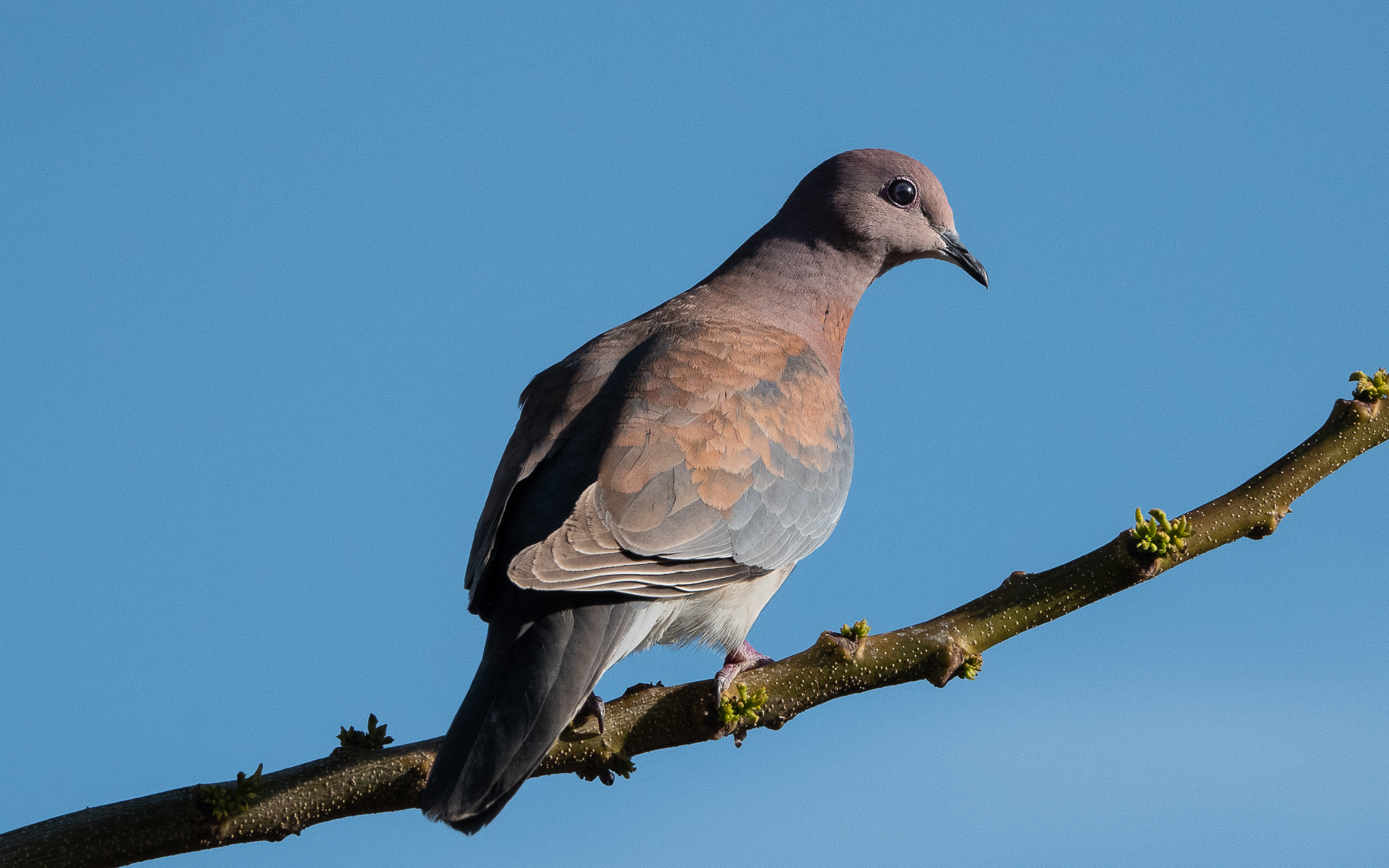 Laughing Dove (Image ID 42503)