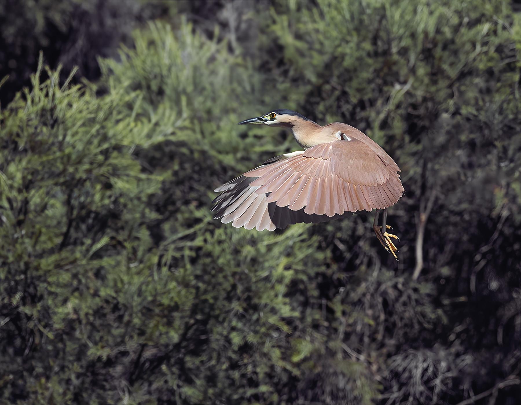 Nankeen Night-Heron (Image ID 42211)