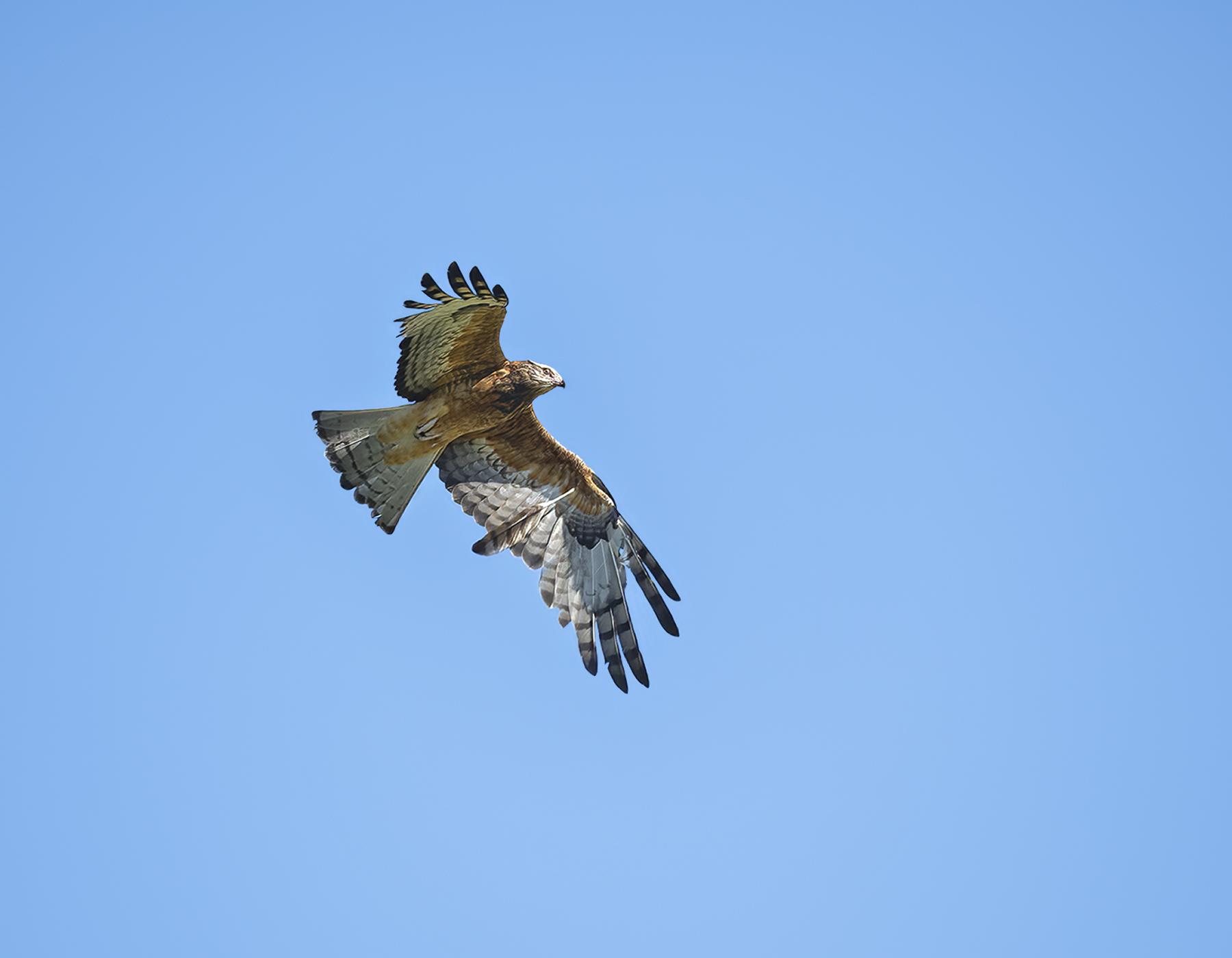 Square-tailed Kite (Image ID 42408)
