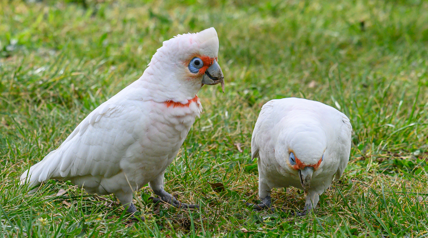 Long-billed Corella (Image ID 42391)