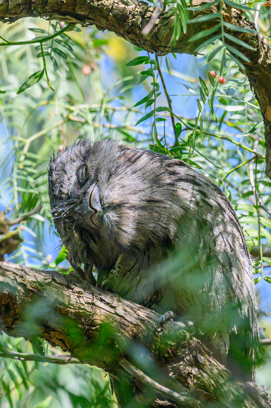 Tawny Frogmouth (Image ID 42518)