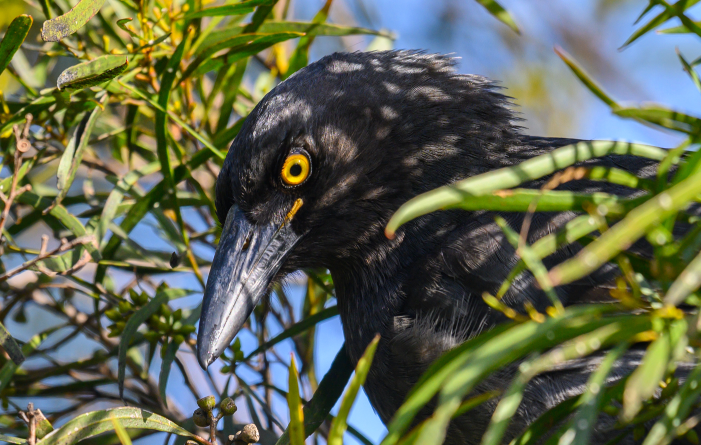 Pied Currawong (Image ID 42214)