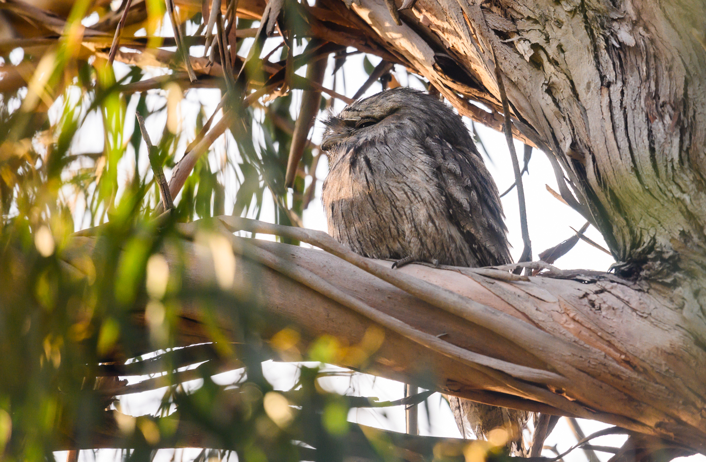 Tawny Frogmouth (Image ID 42606)