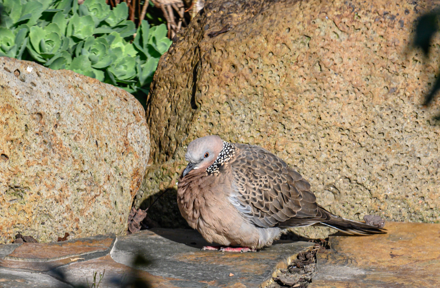 Spotted Dove (Image ID 42196)