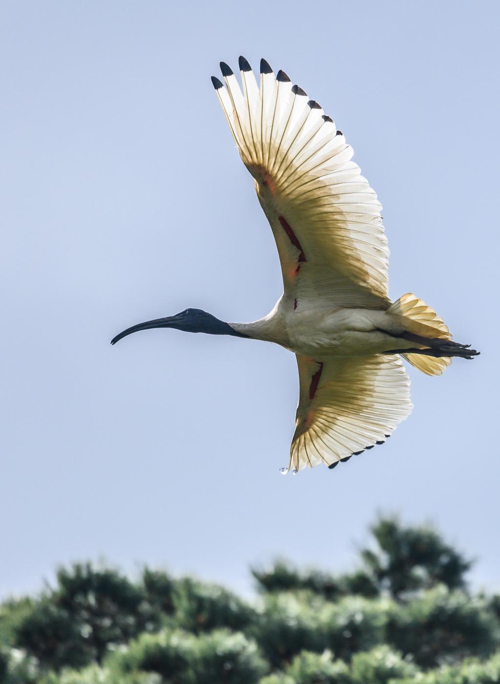 Australian White Ibis (Image ID 42272)