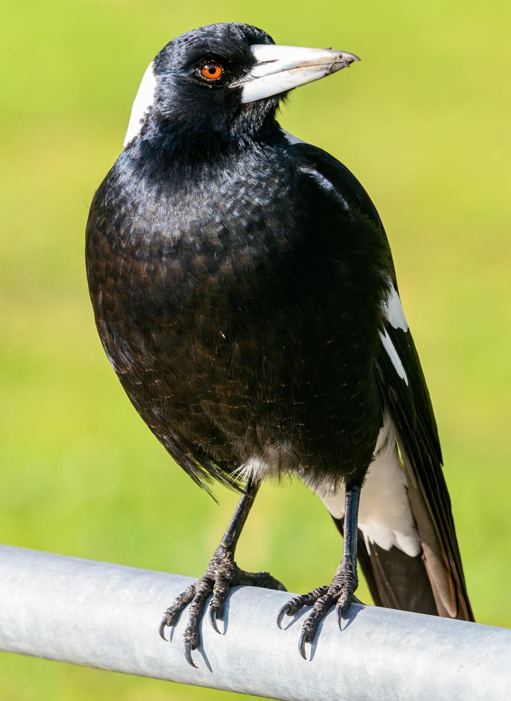 Australian Magpie (Image ID 42216)