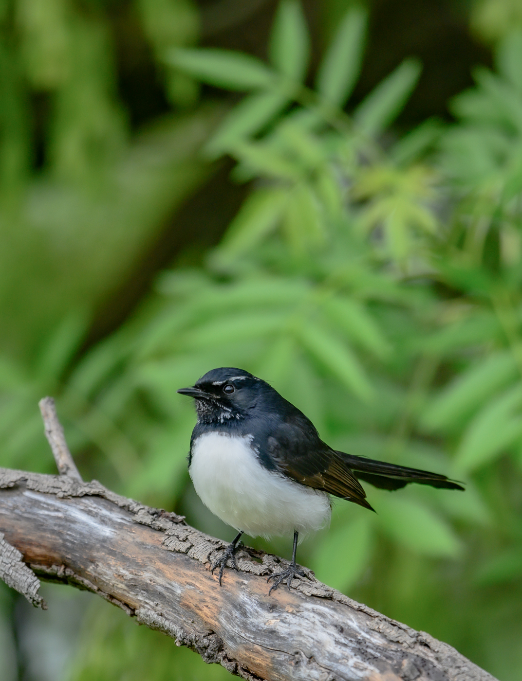 Willie Wagtail (Image ID 42390)