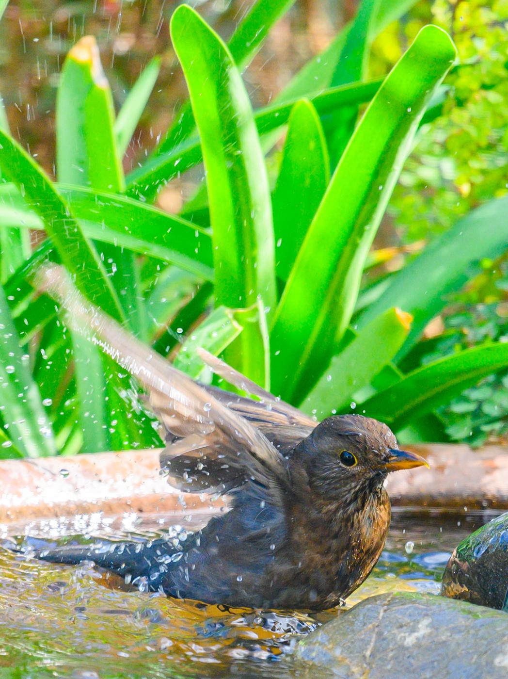 Common Blackbird (Image ID 42215)