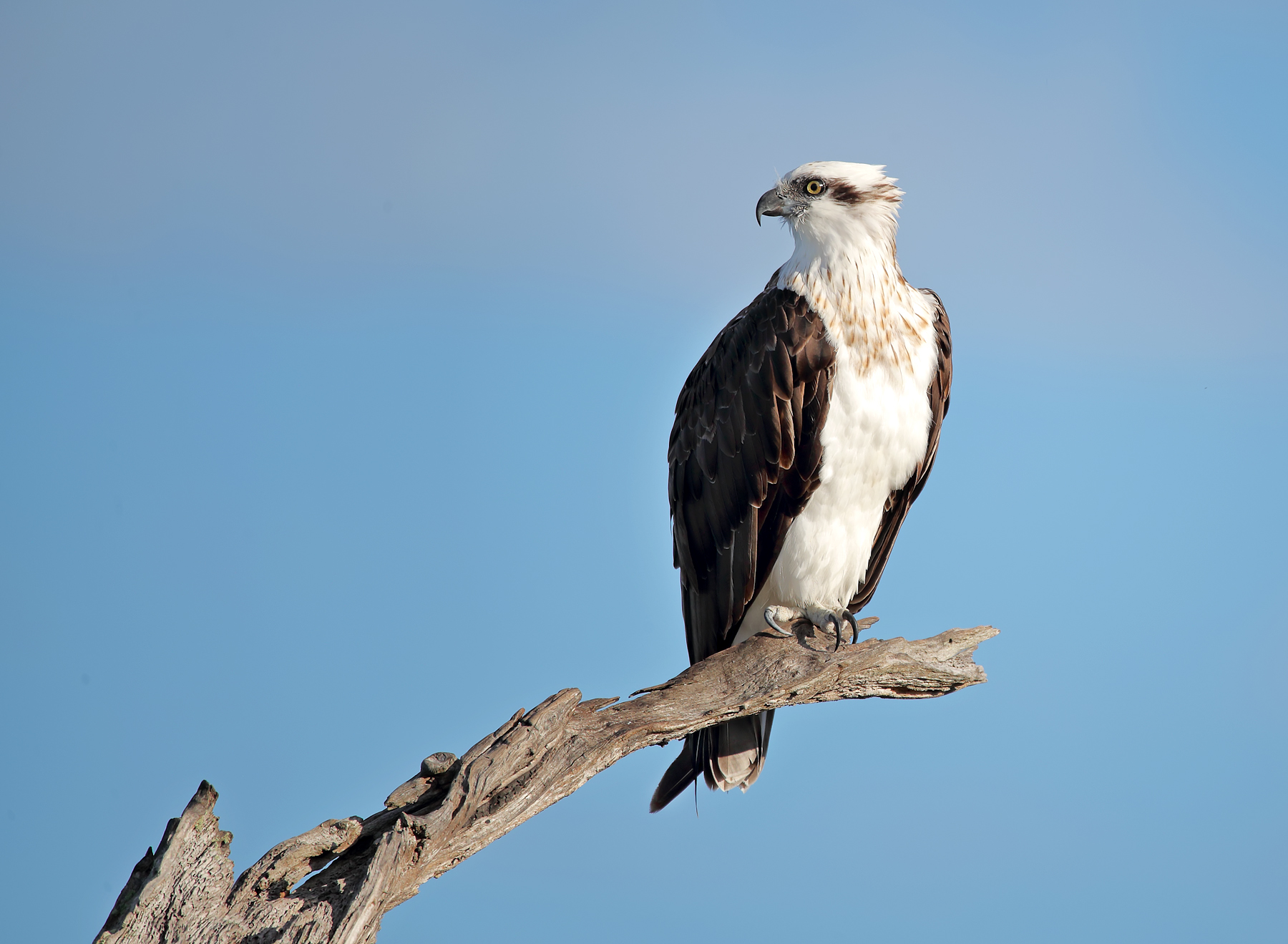 Osprey (Image ID 42527)