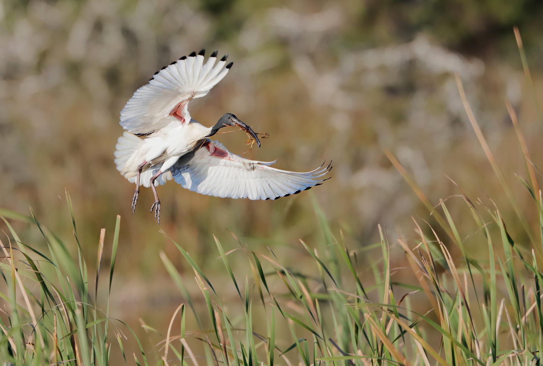 Australian White Ibis (Image ID 42524)