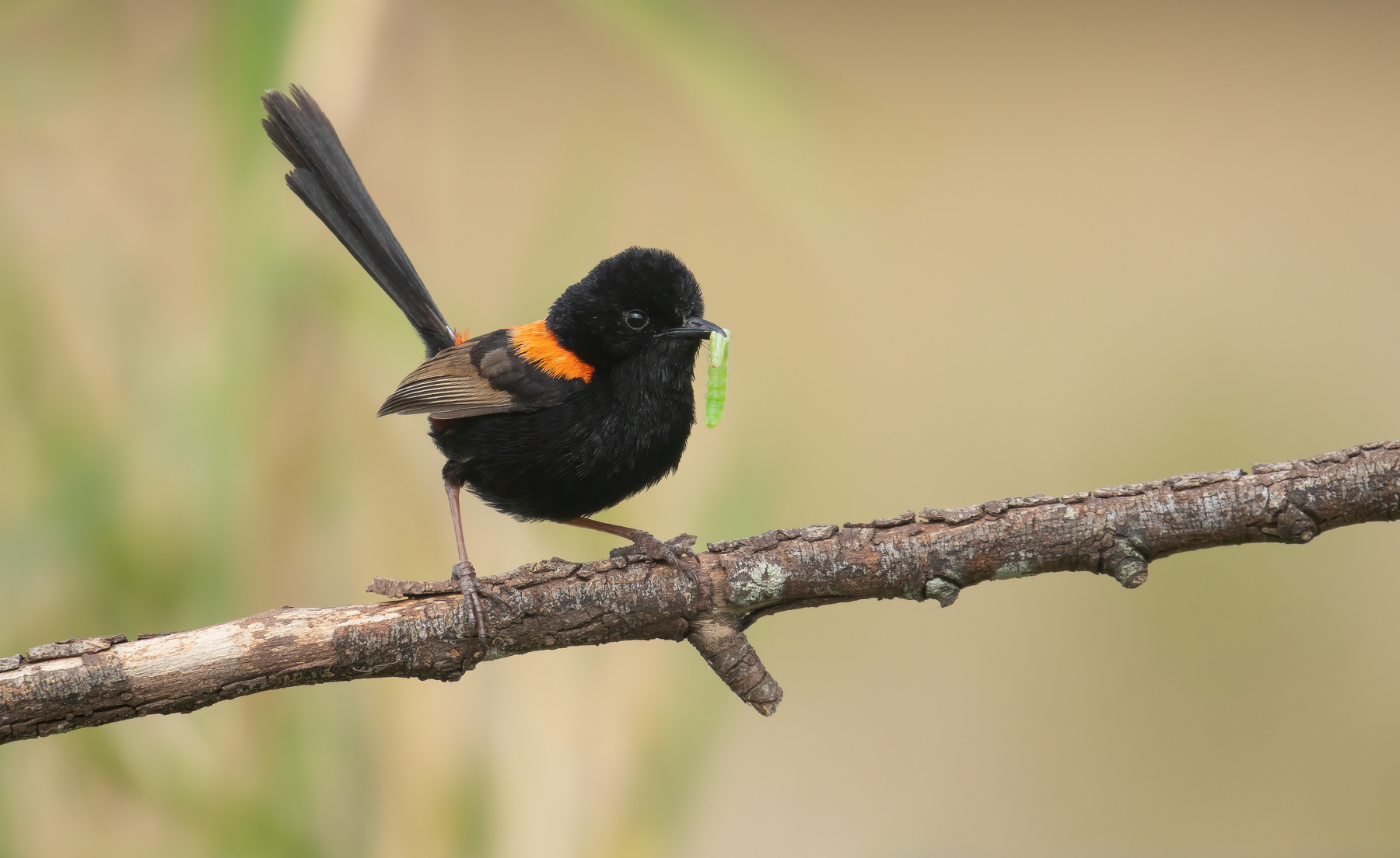 Red-backed Fairy-wren (Image ID 42615)