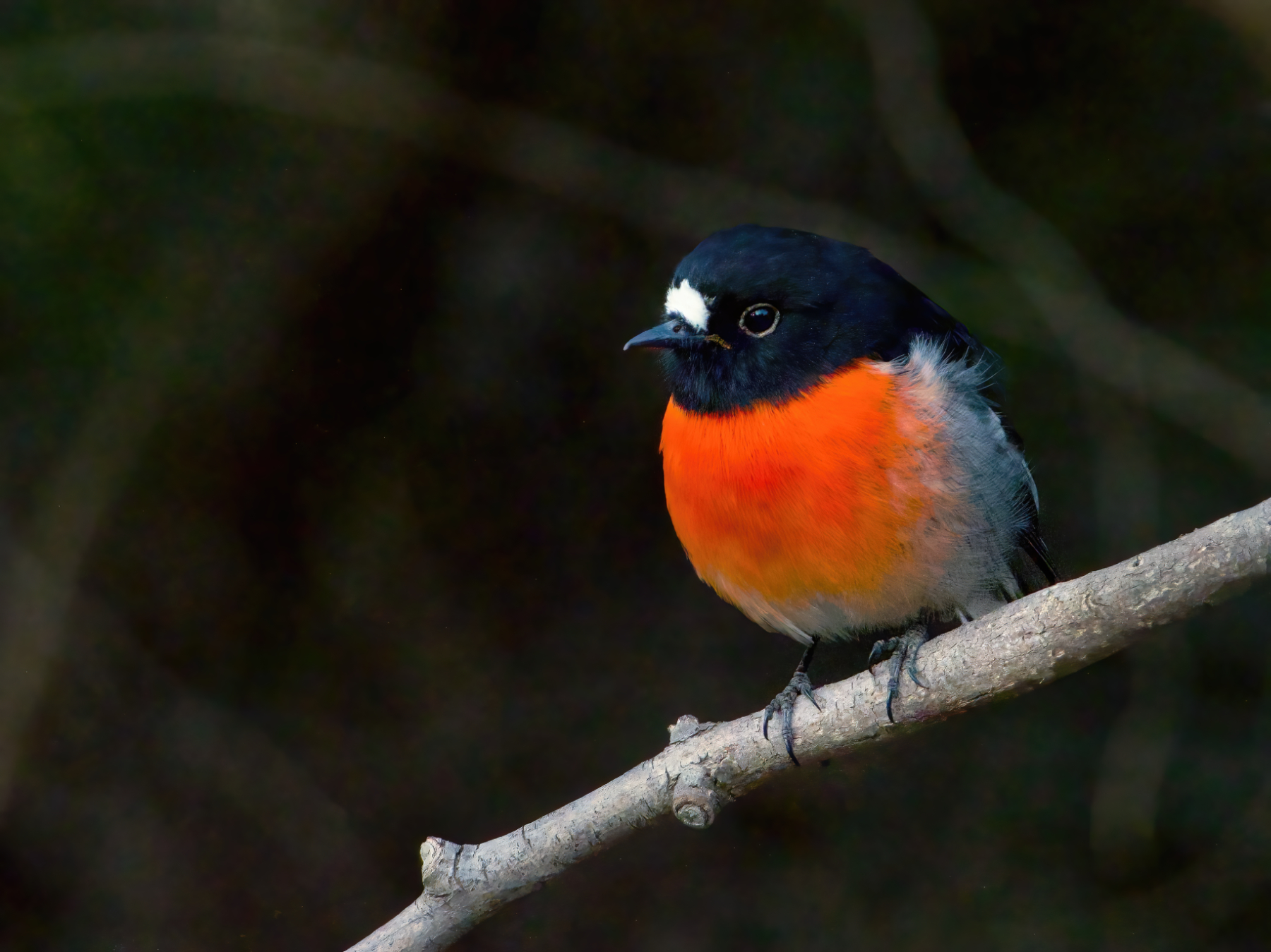 Scarlet Robin (Image ID 42575)