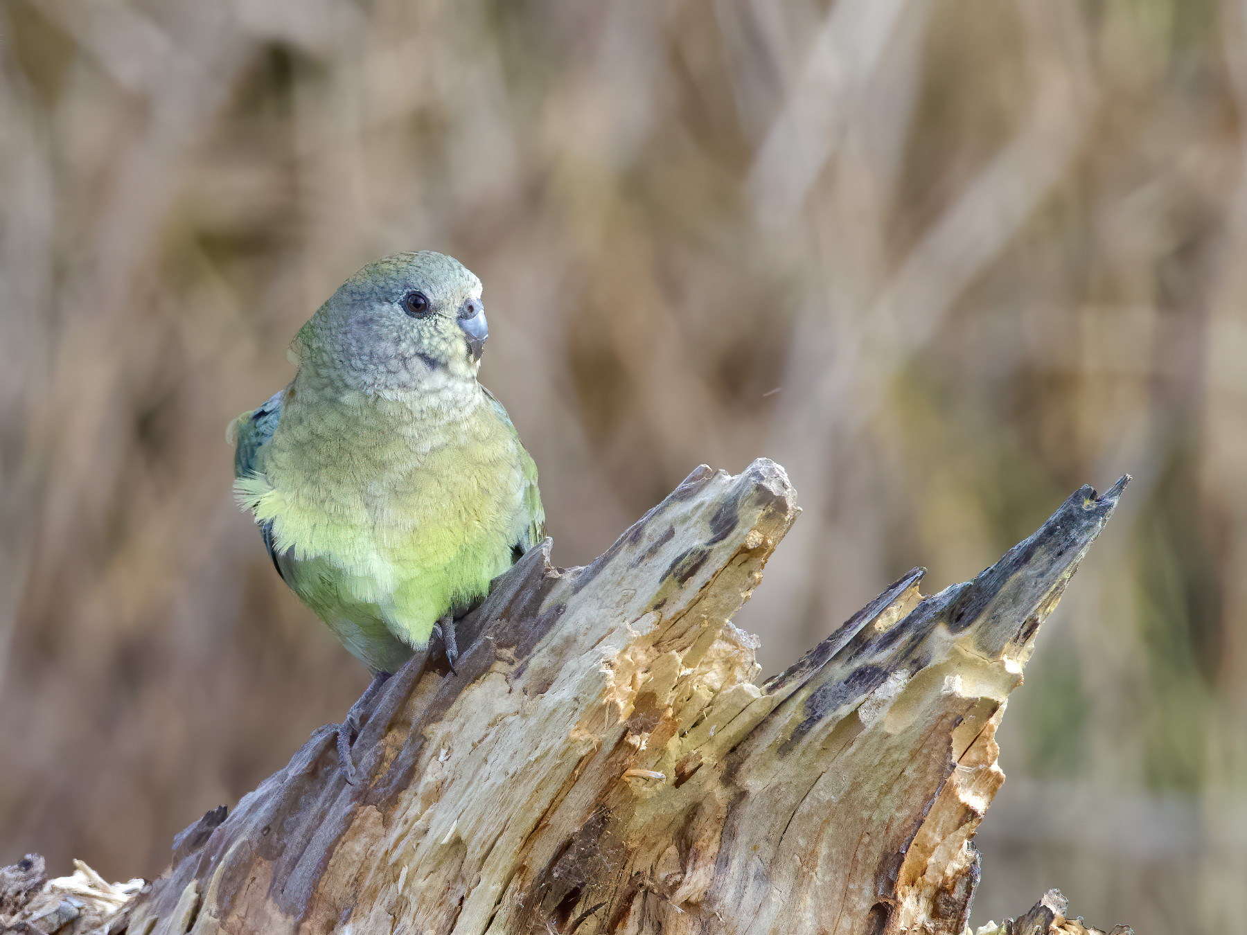 Red-rumped Parrot (Image ID 42319)