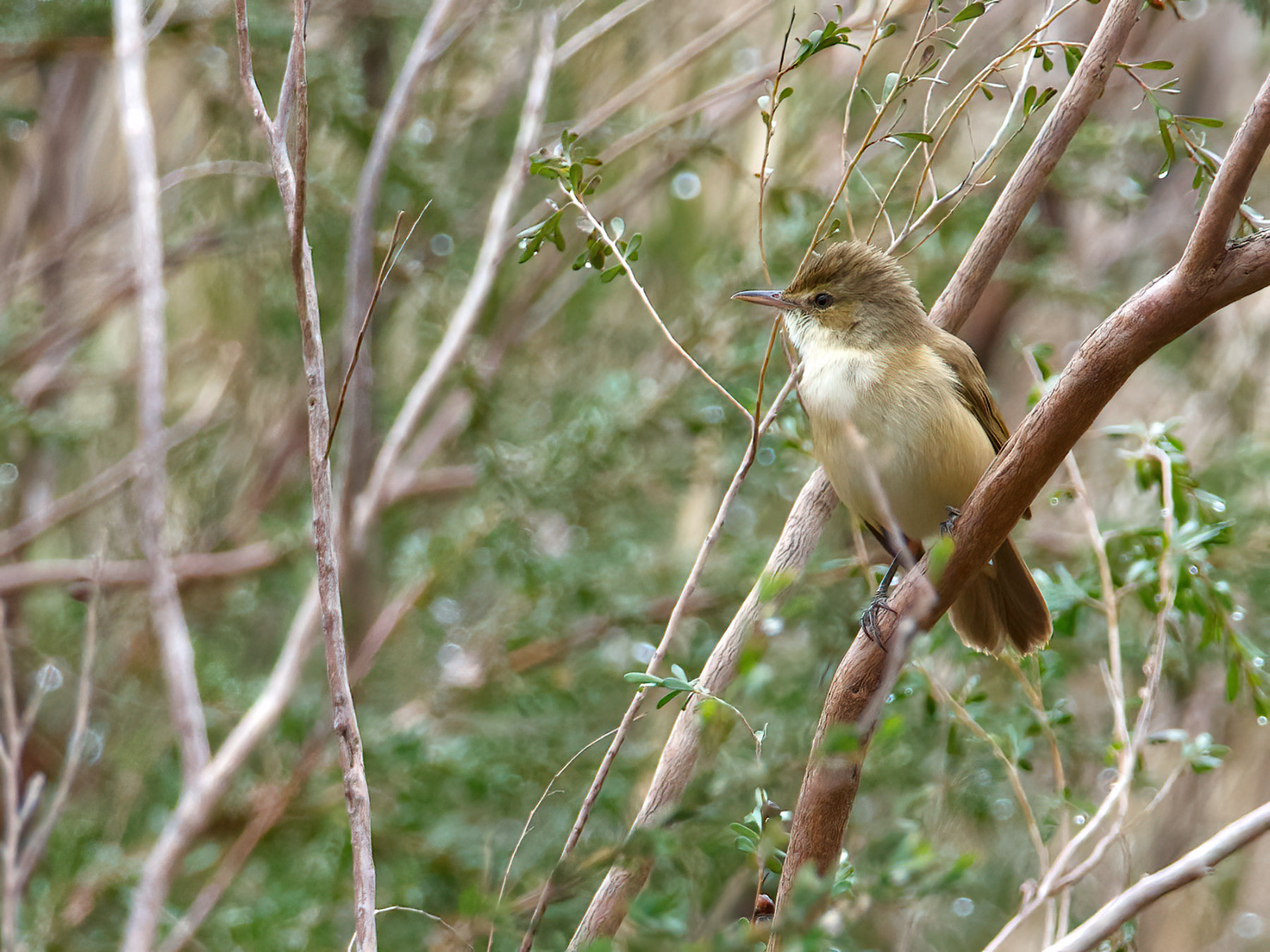 Australian Reed-Warbler (Image ID 42484)