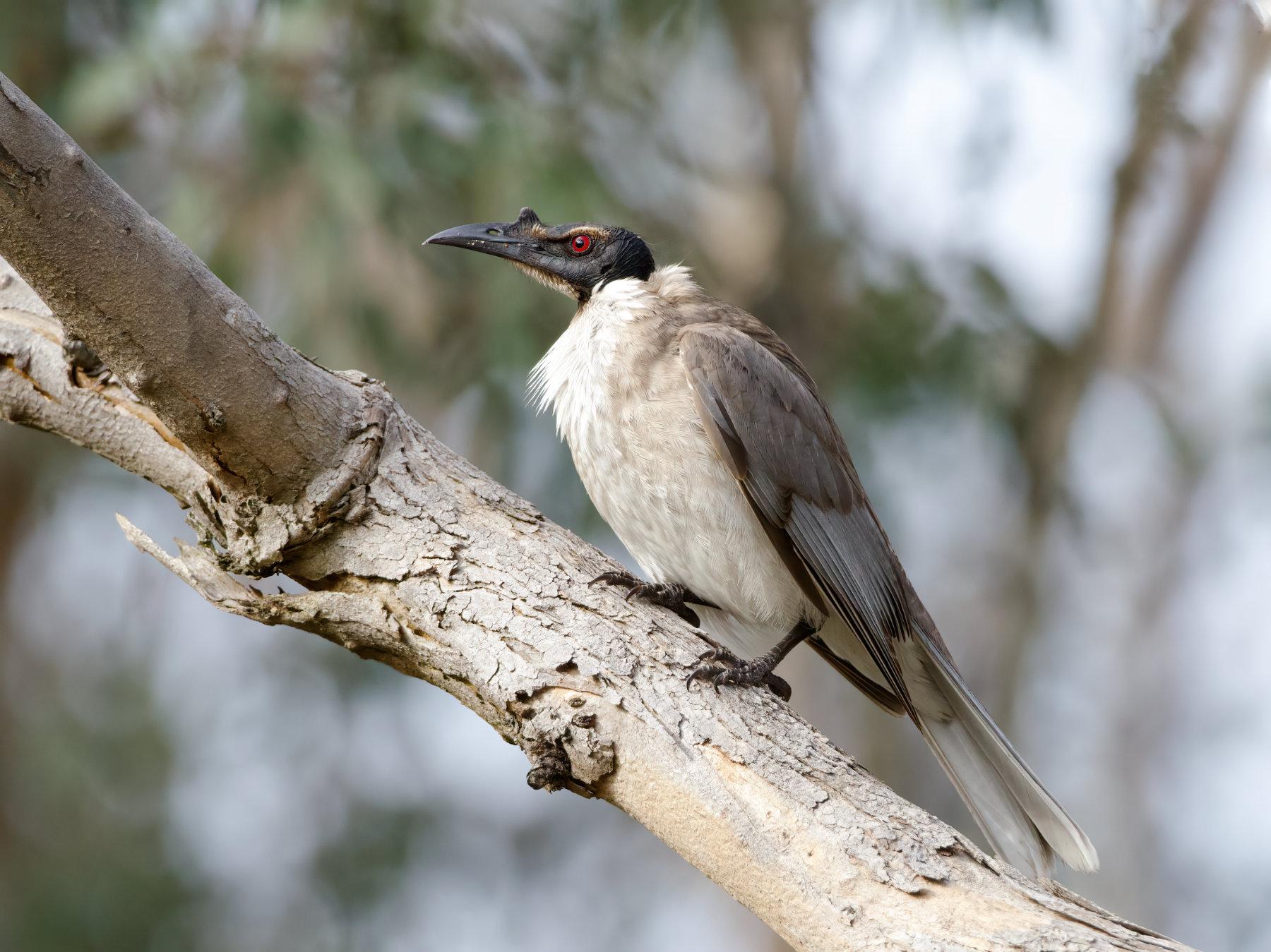 Noisy Friarbird (Image ID 42494)
