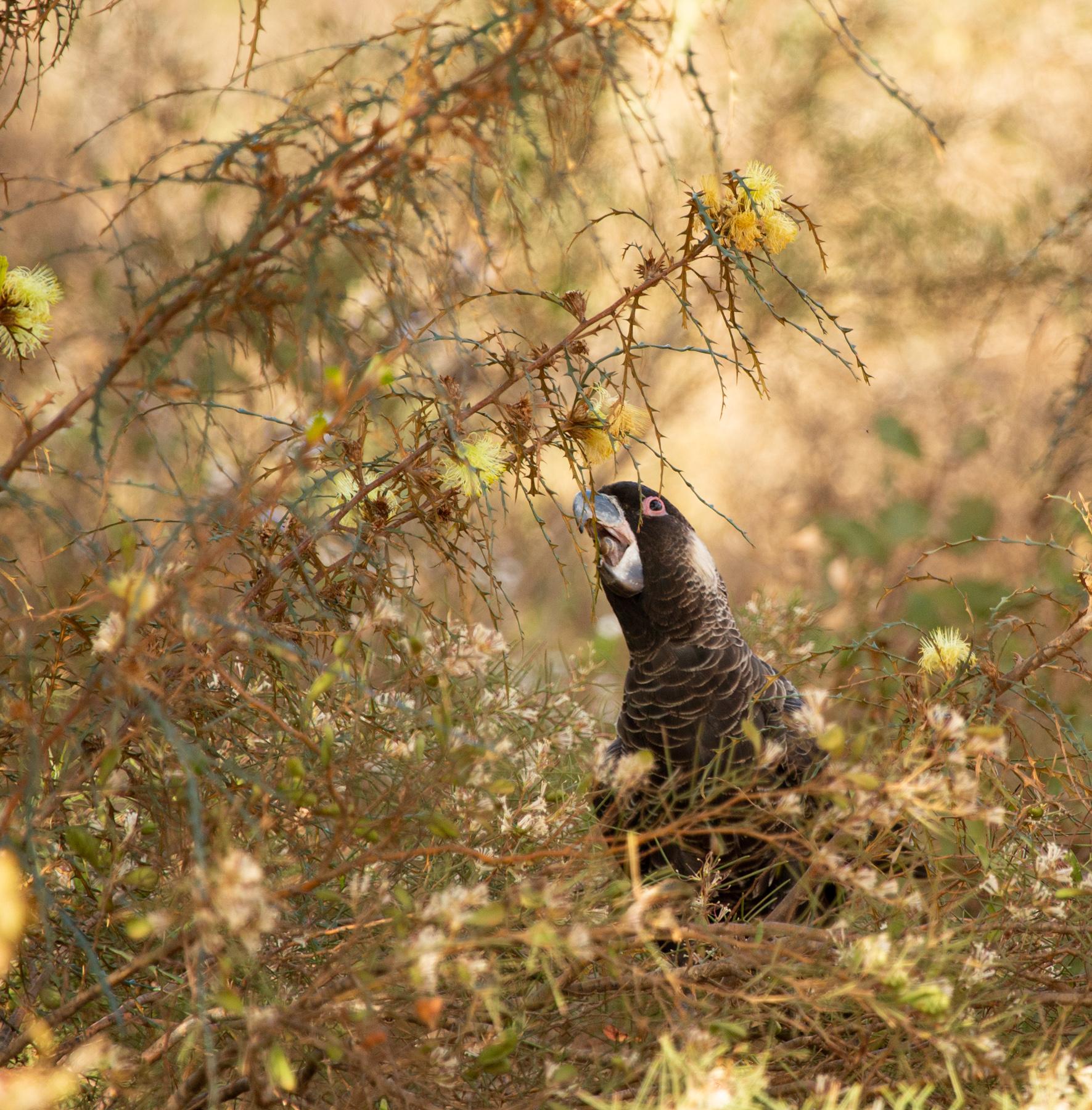 Baudin's Black-Cockatoo (Image ID 42481)