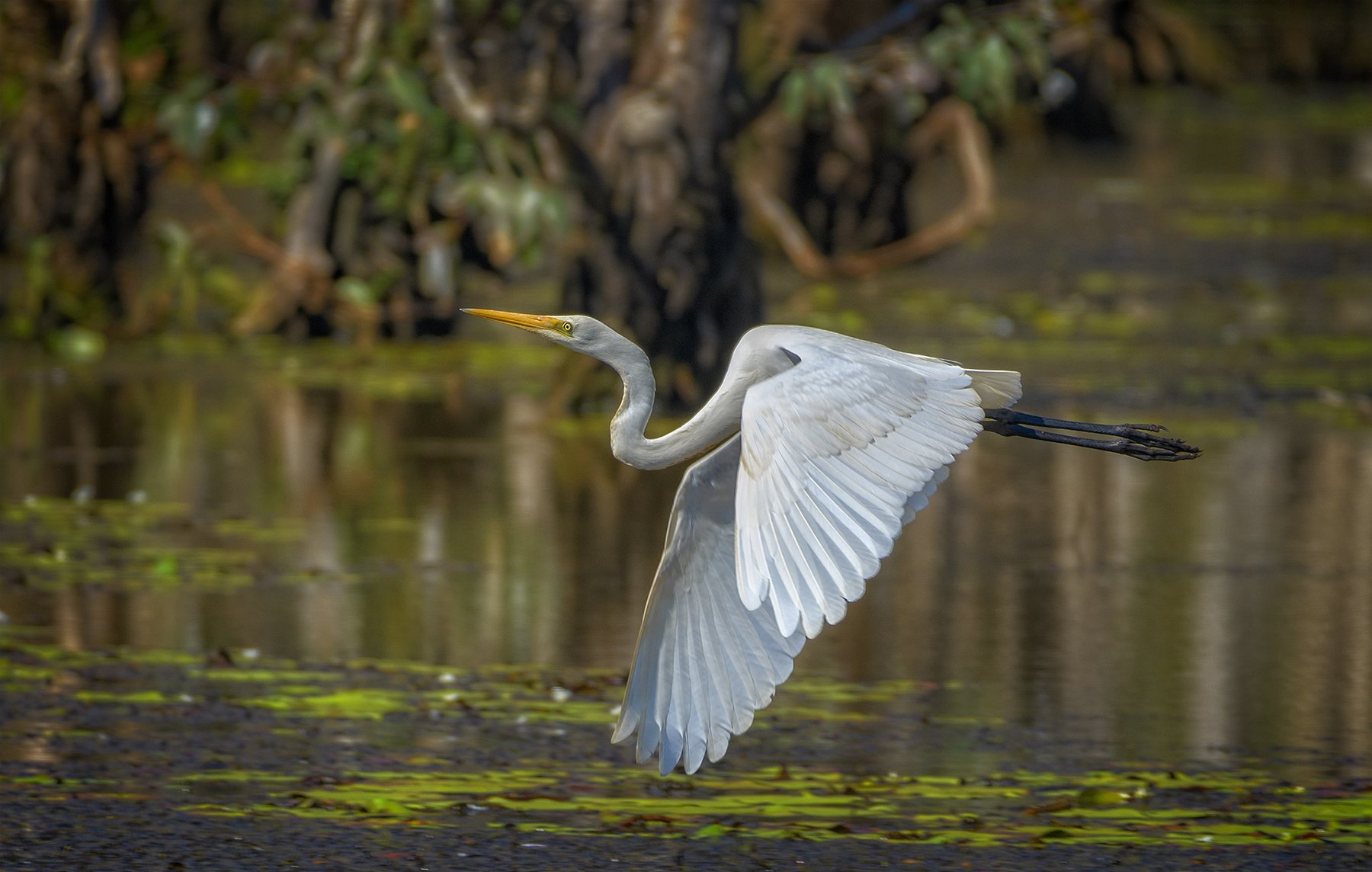 Great Egret (Image ID 42446)