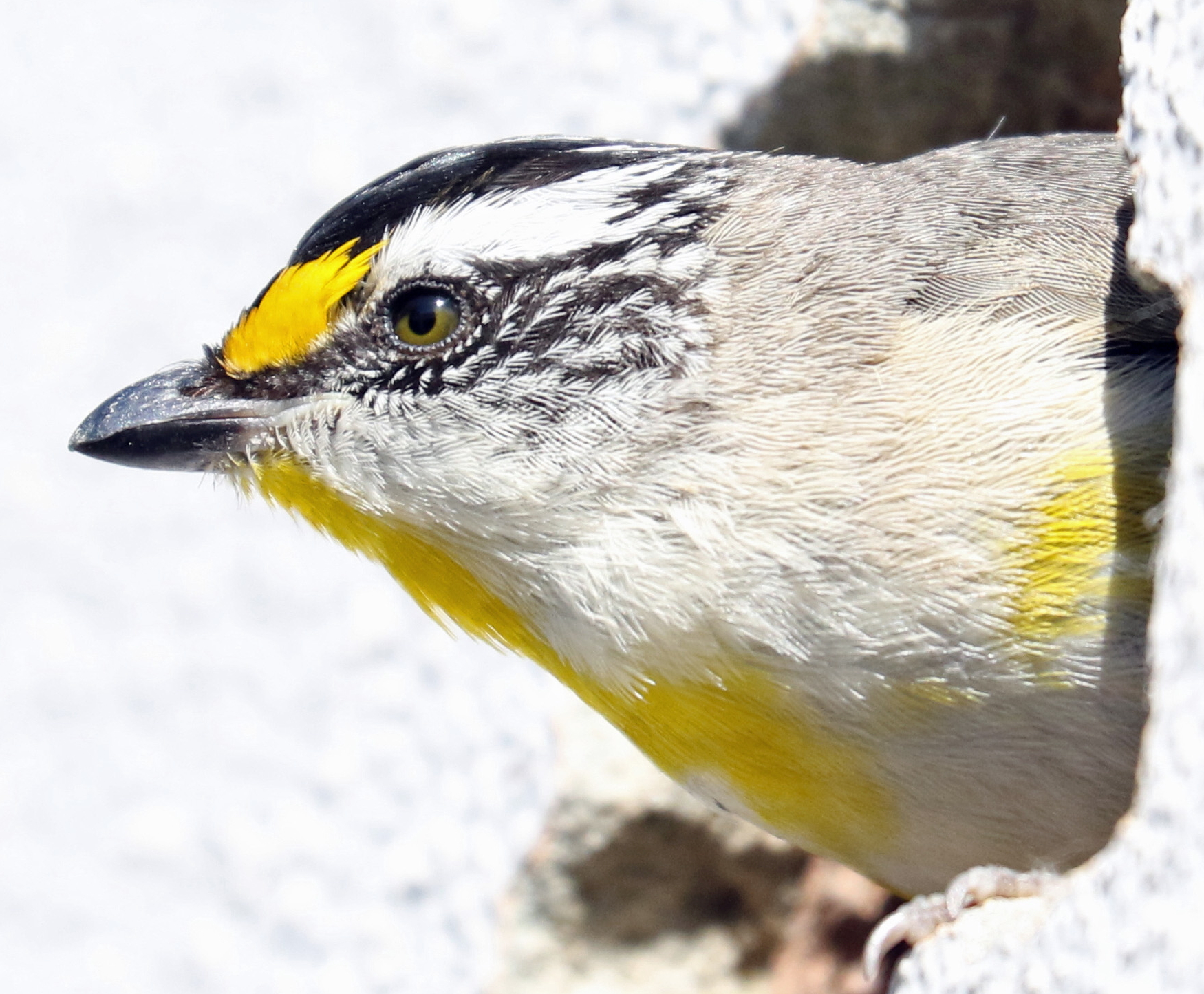 Striated Pardalote (Image ID 42461)