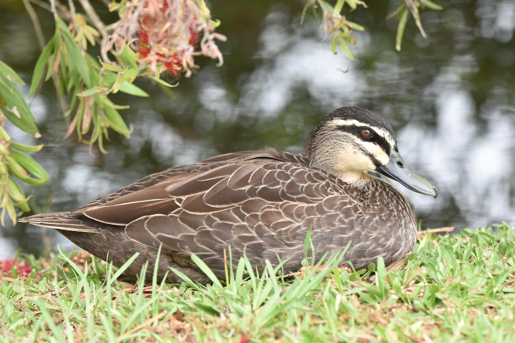 Pacific Black Duck (Image ID 42528)