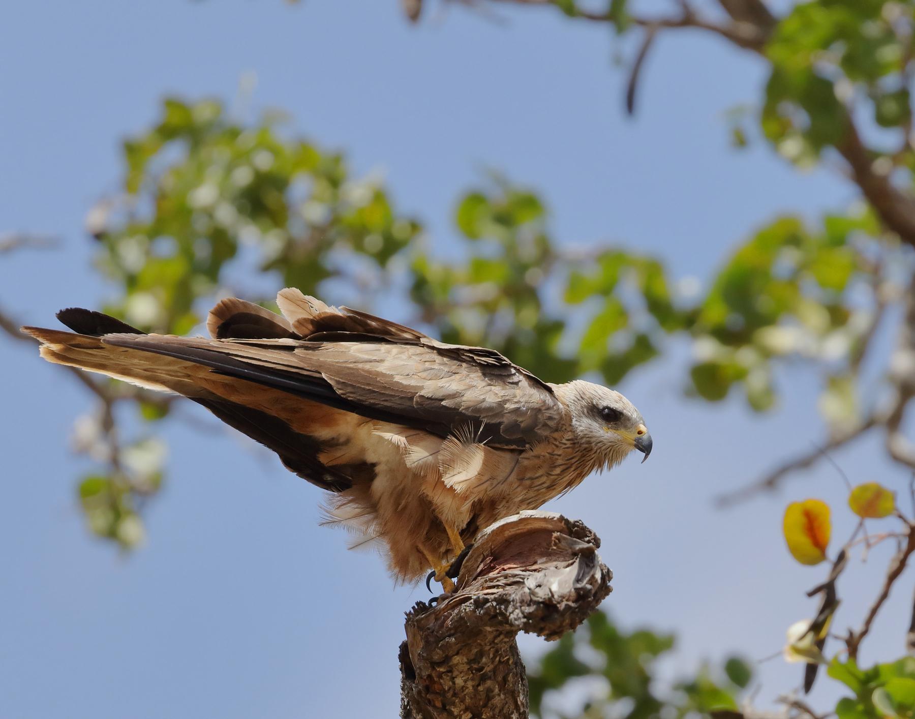 Black Kite (Image ID 42232)