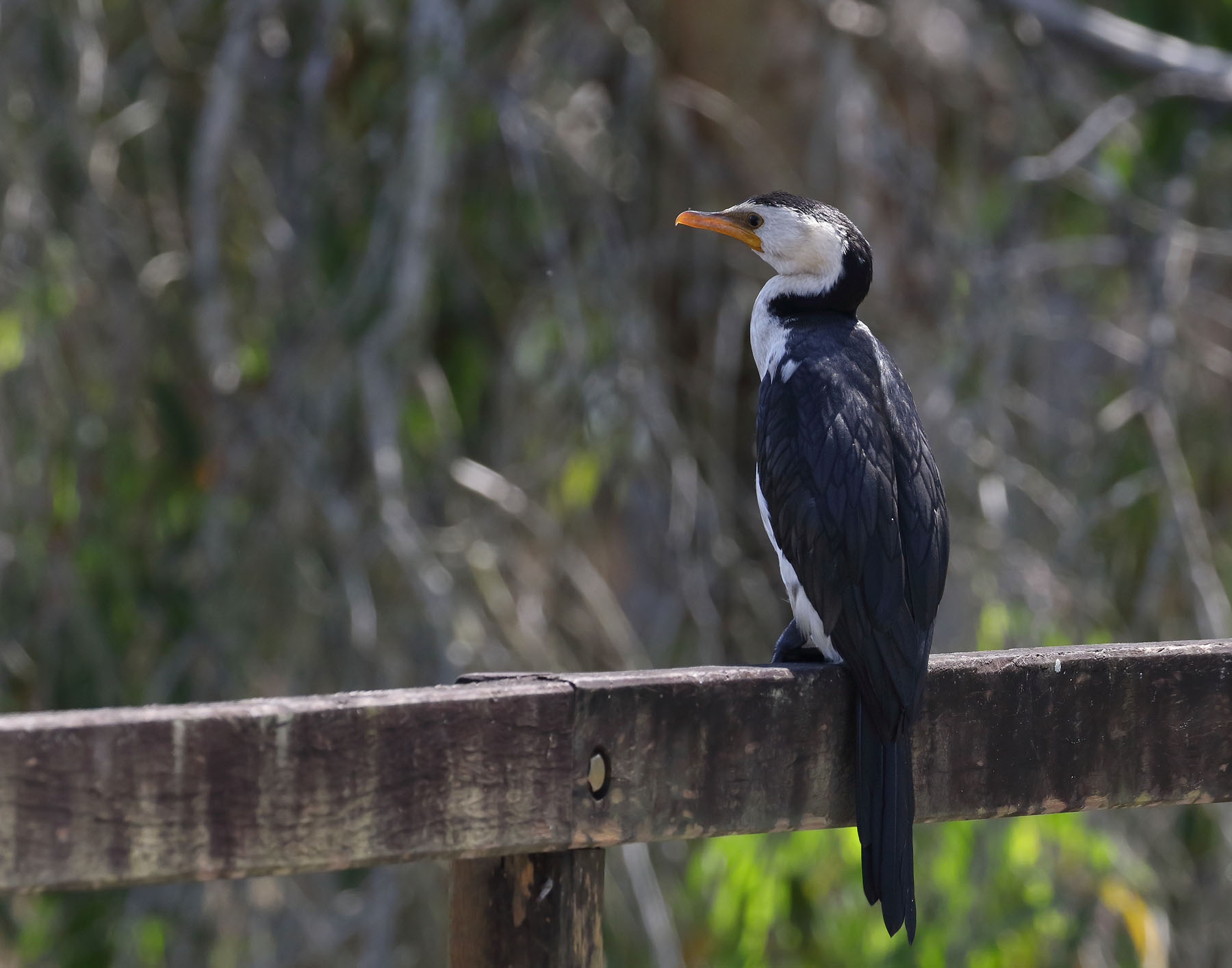 Little Pied Cormorant (Image ID 42585)