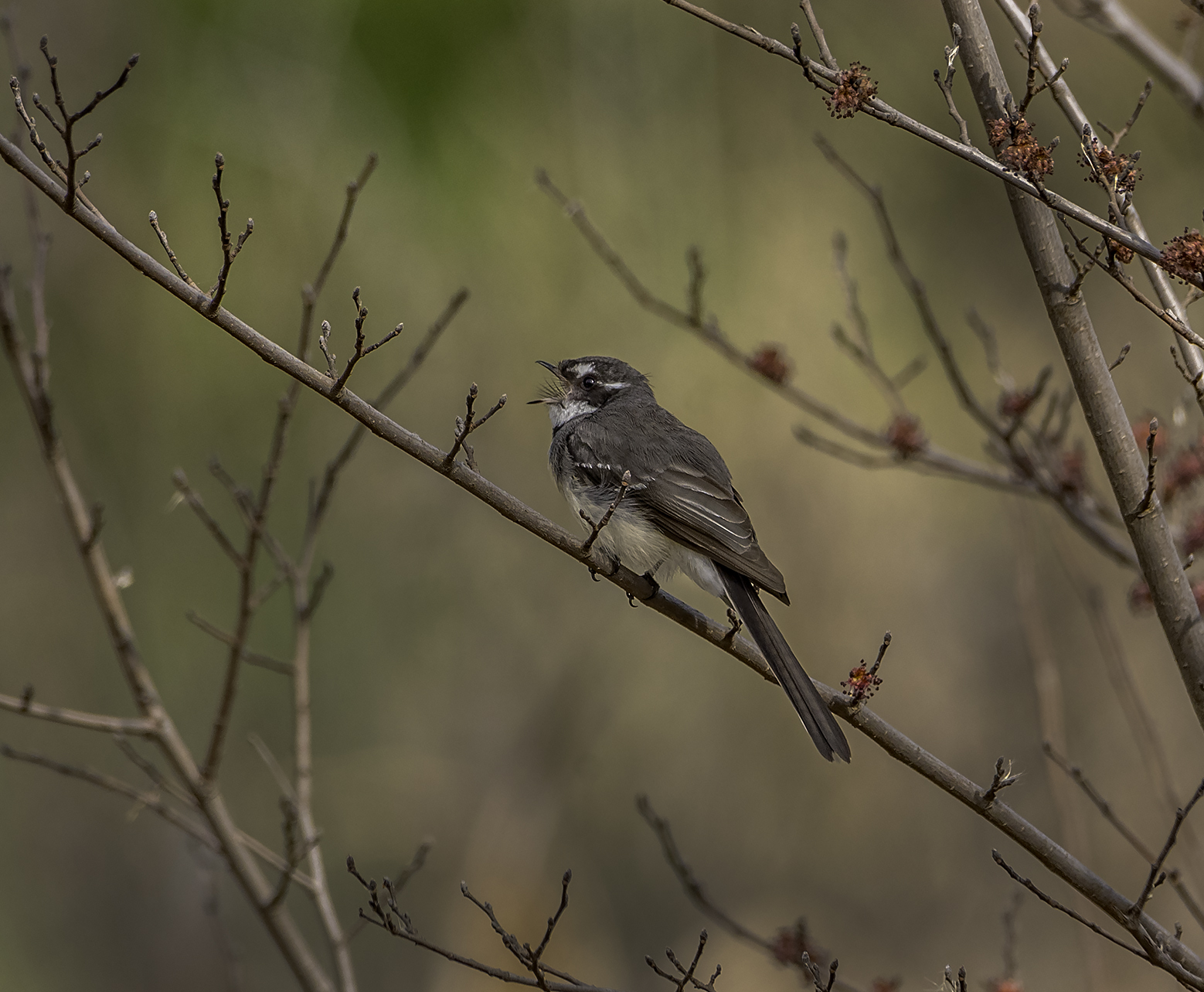 Grey Fantail (Image ID 42200)