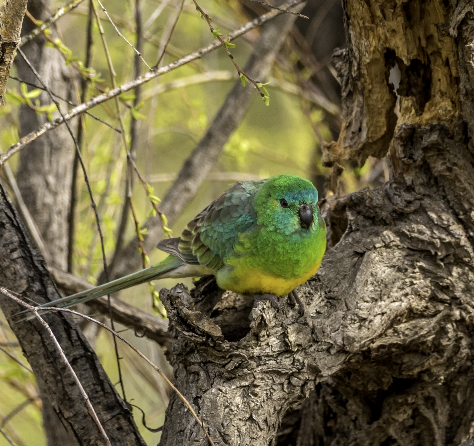 Red-rumped Parrot (Image ID 42287)