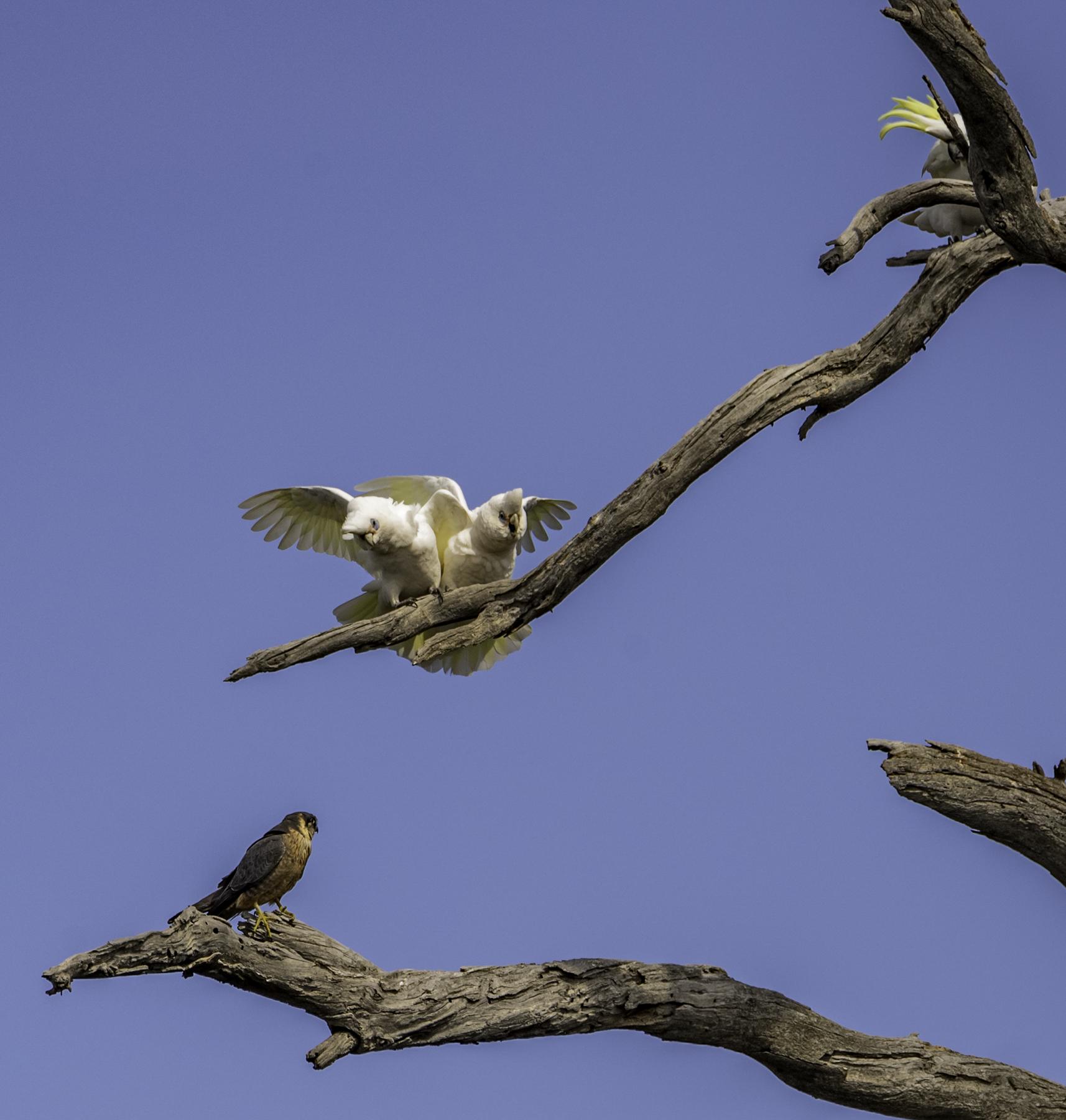 Australian Hobby, Little Corella (Image ID 42286)