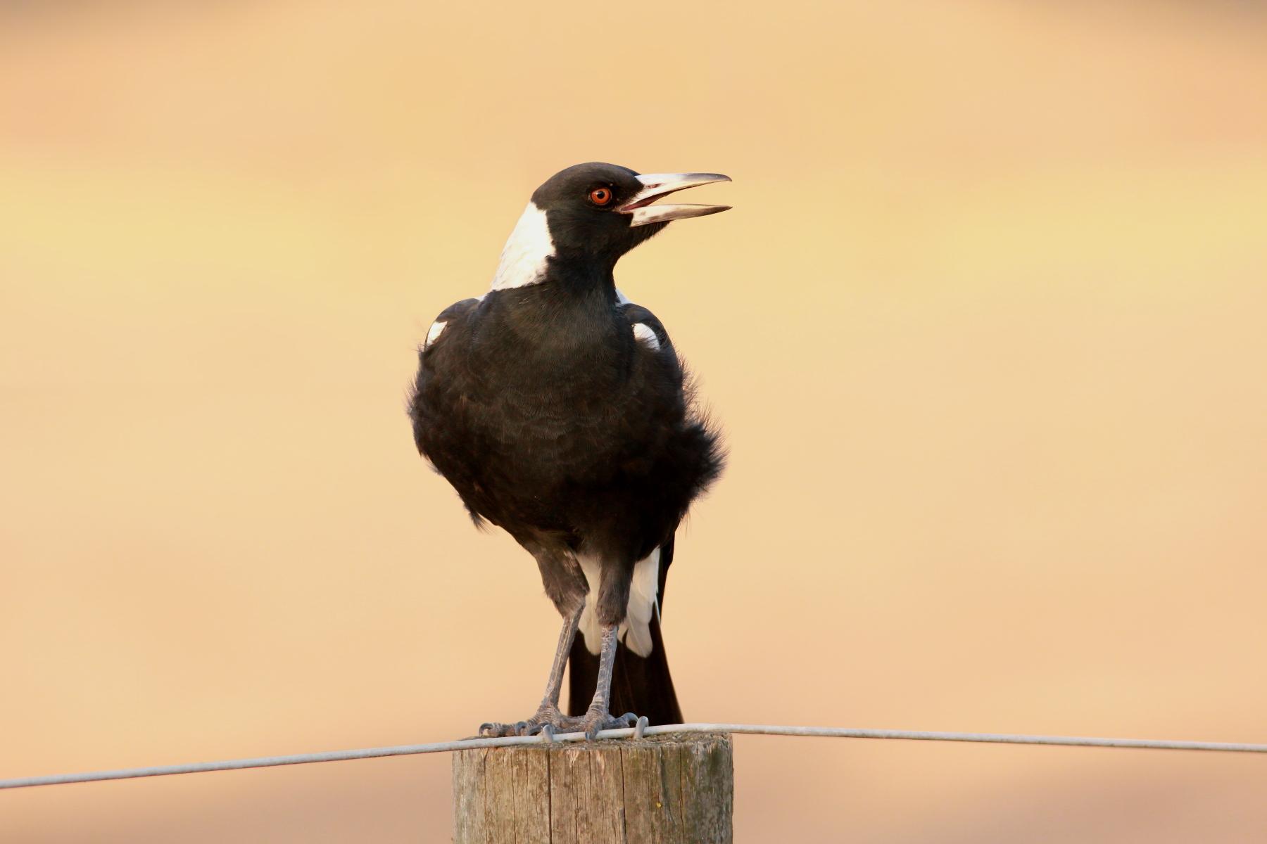 Australian Magpie (Image ID 42506)