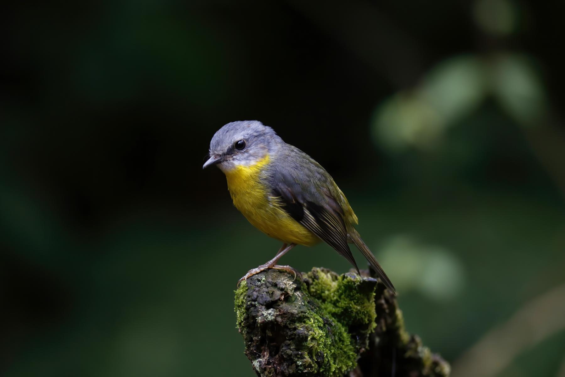Eastern Yellow Robin (Image ID 42571)