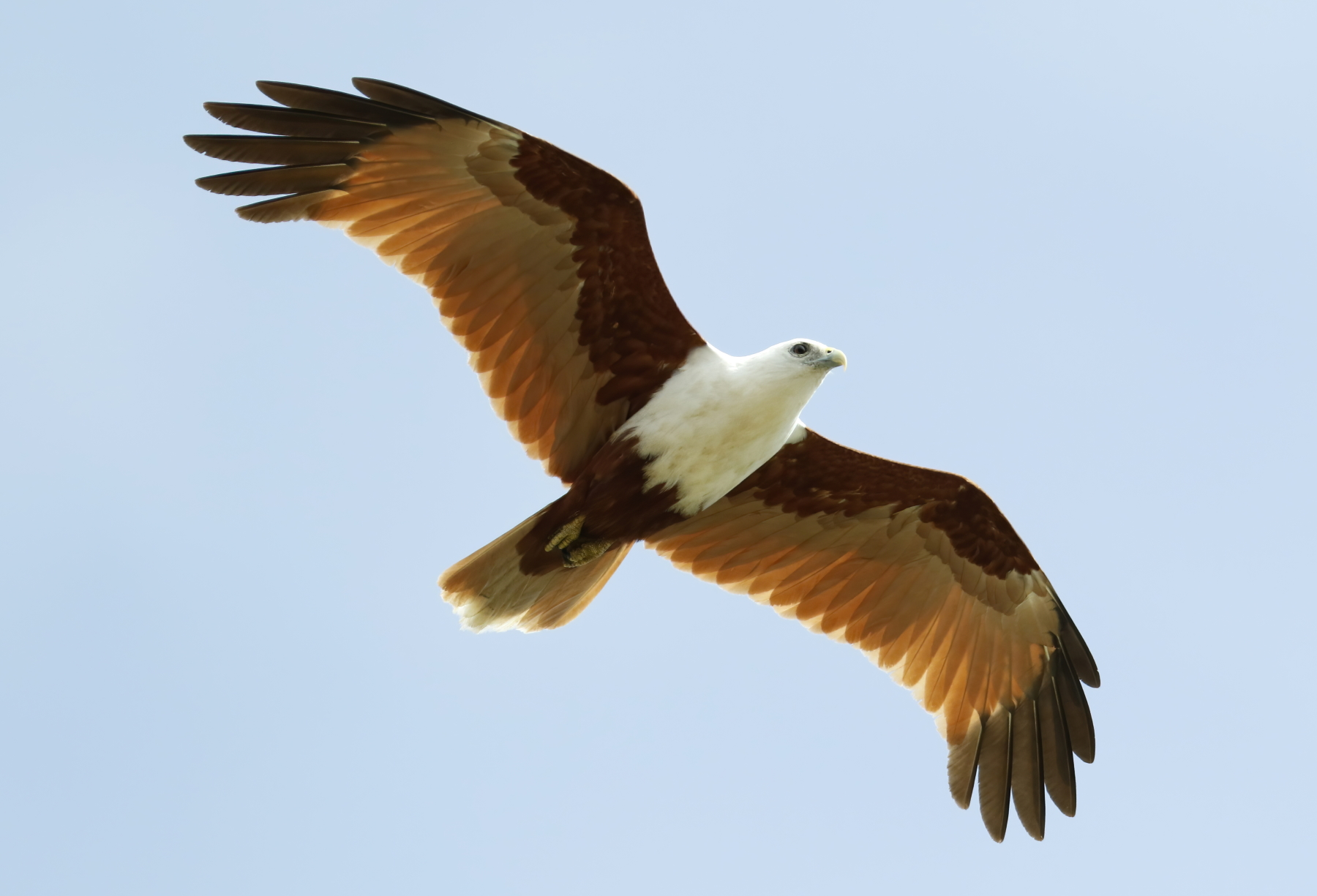 Brahminy Kite (Image ID 42534)