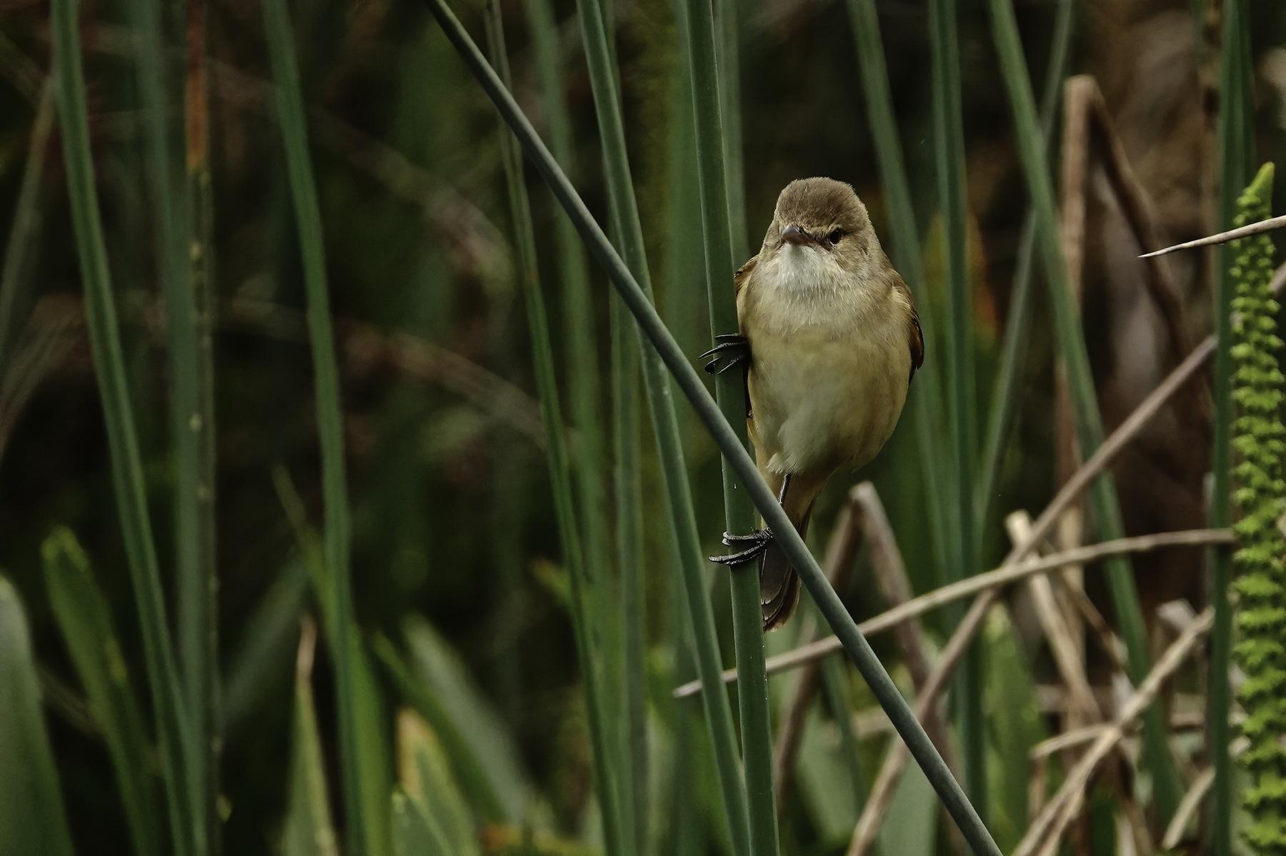 Australian Reed-Warbler (Image ID 42790)