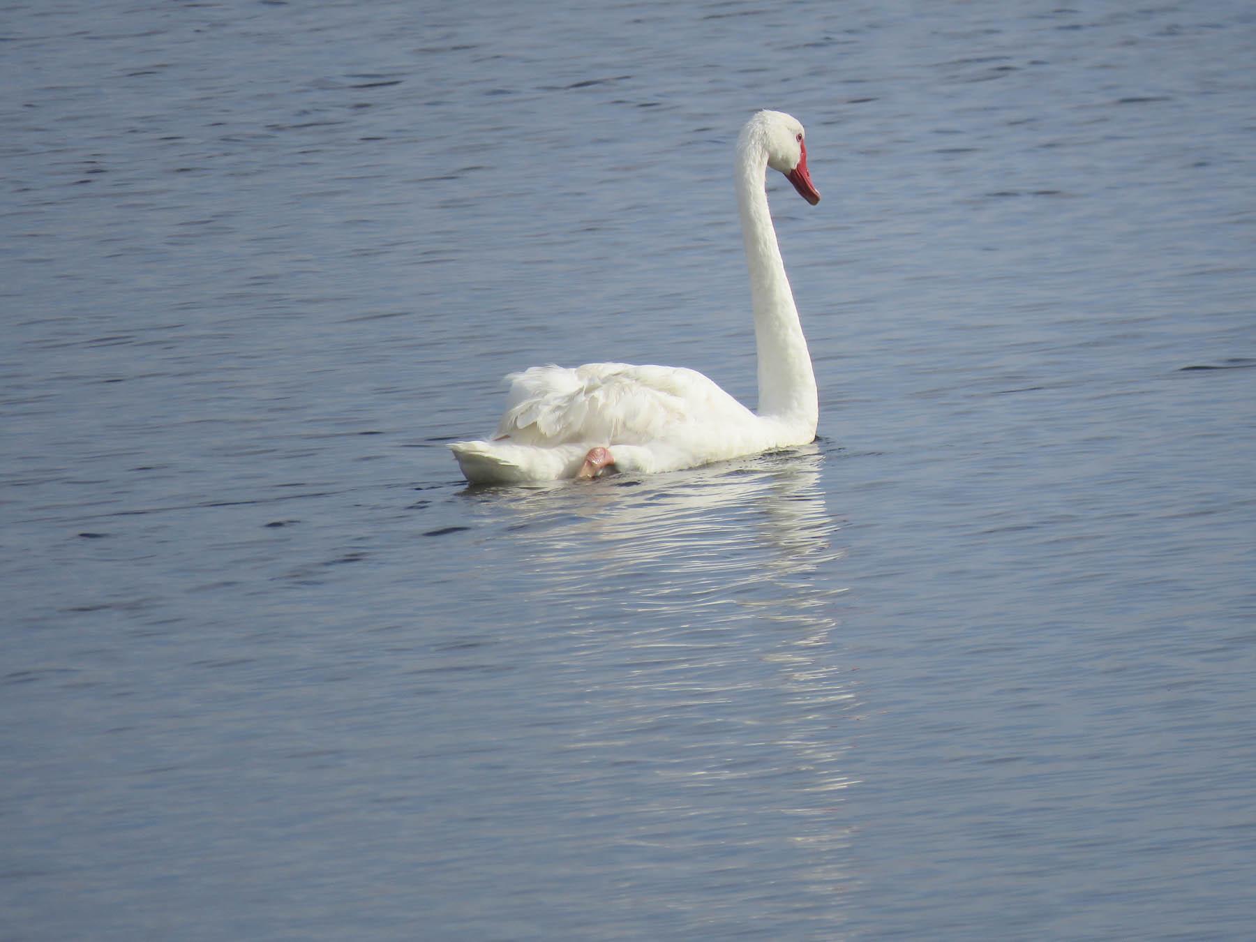 Black Swan (Image ID 42637)