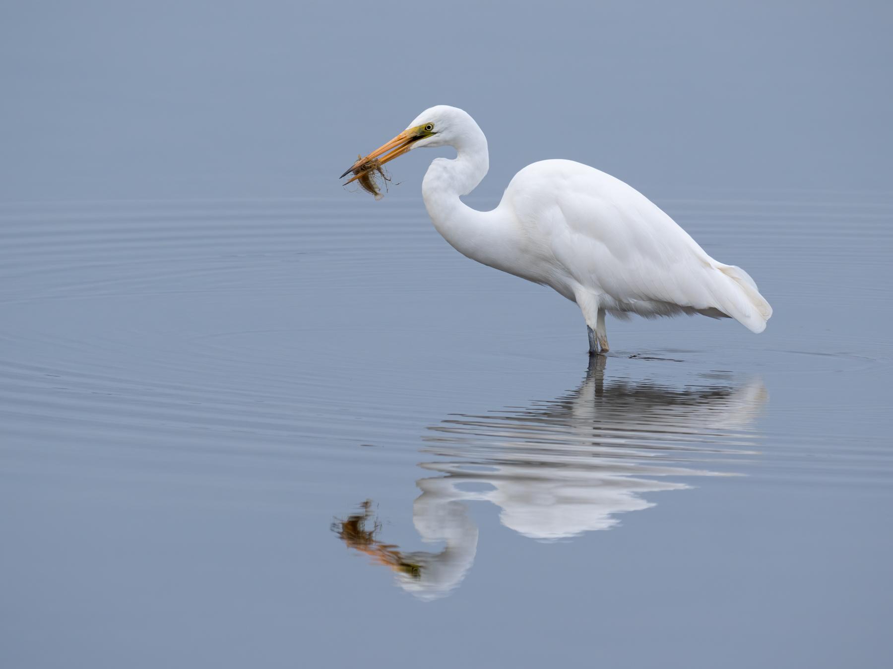 Great Egret (Image ID 42720)