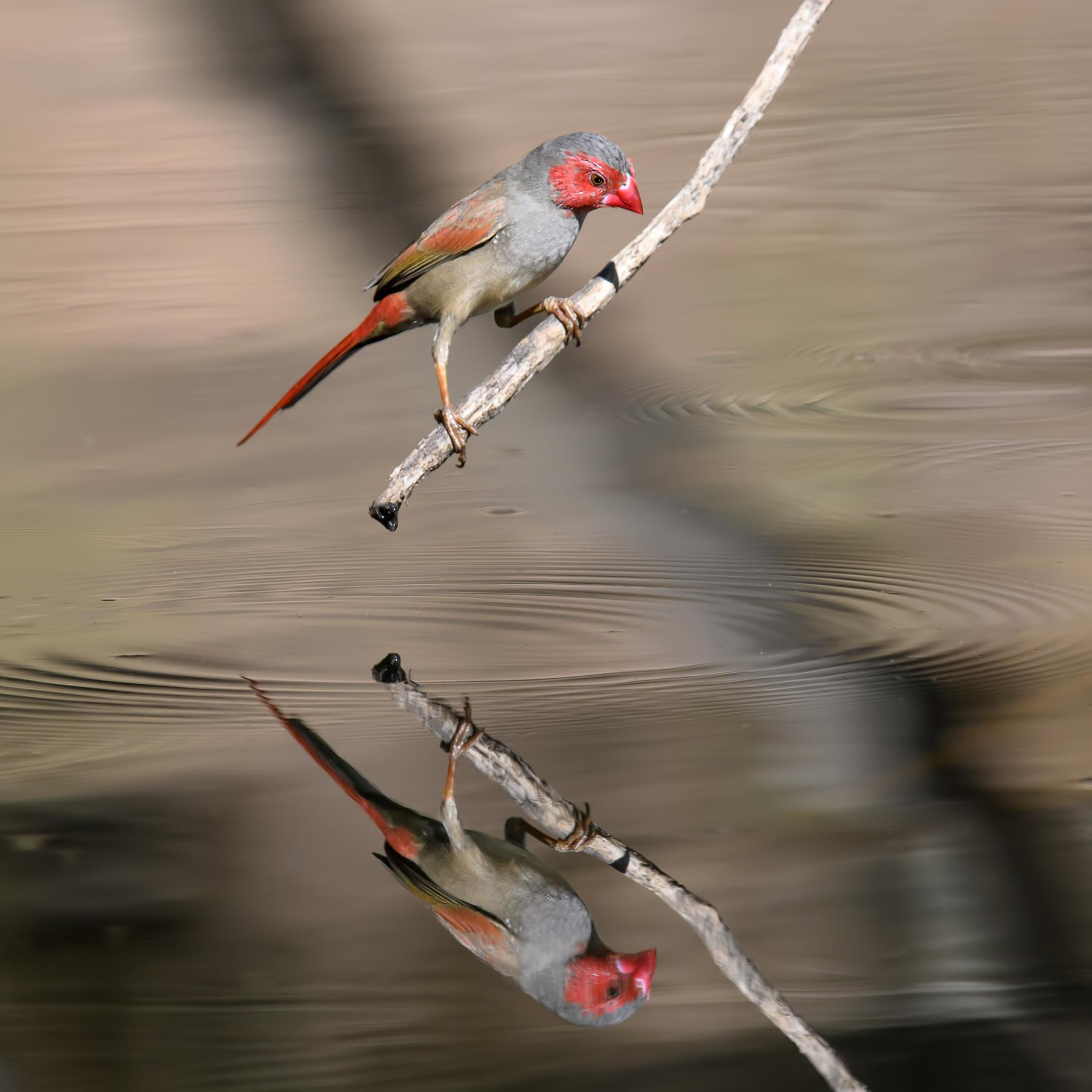 Black-bellied Crimson Finch (Image ID 42987)