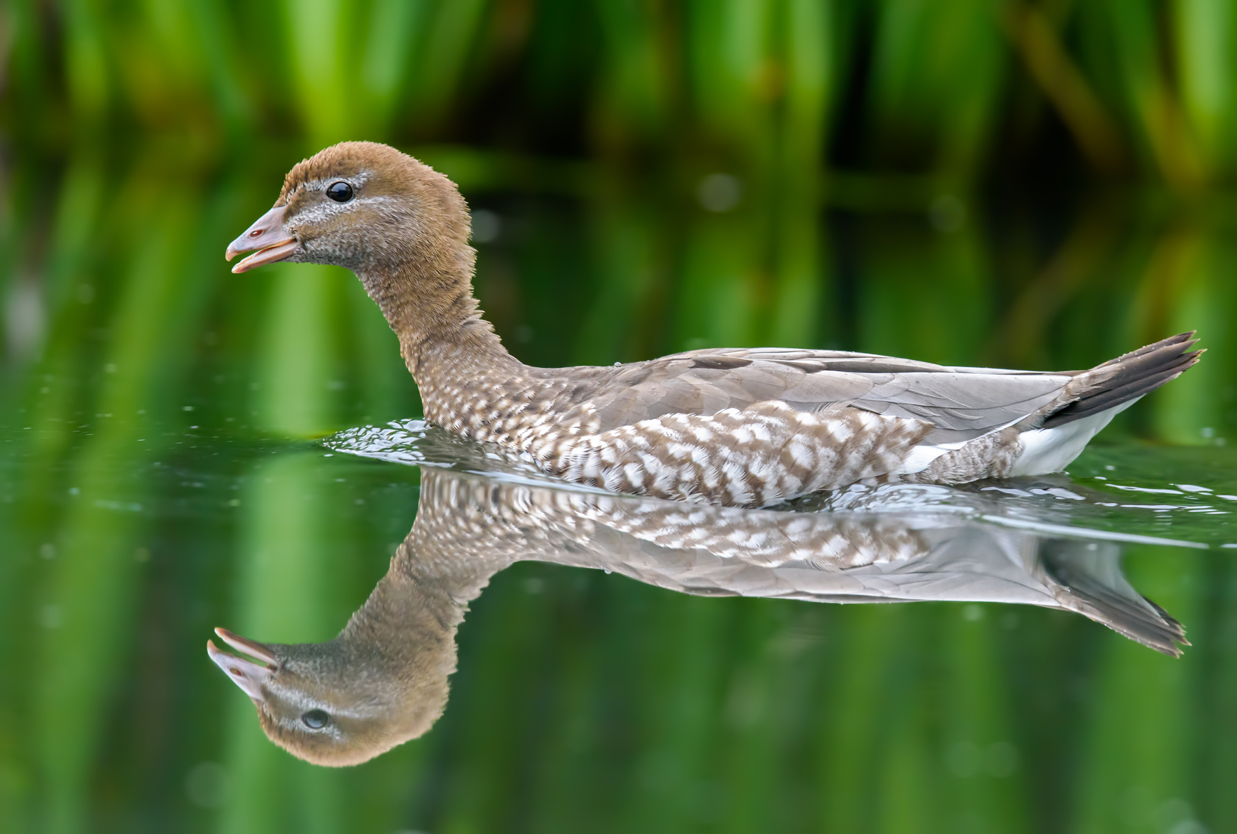 Australian Wood Duck (Image ID 42985)