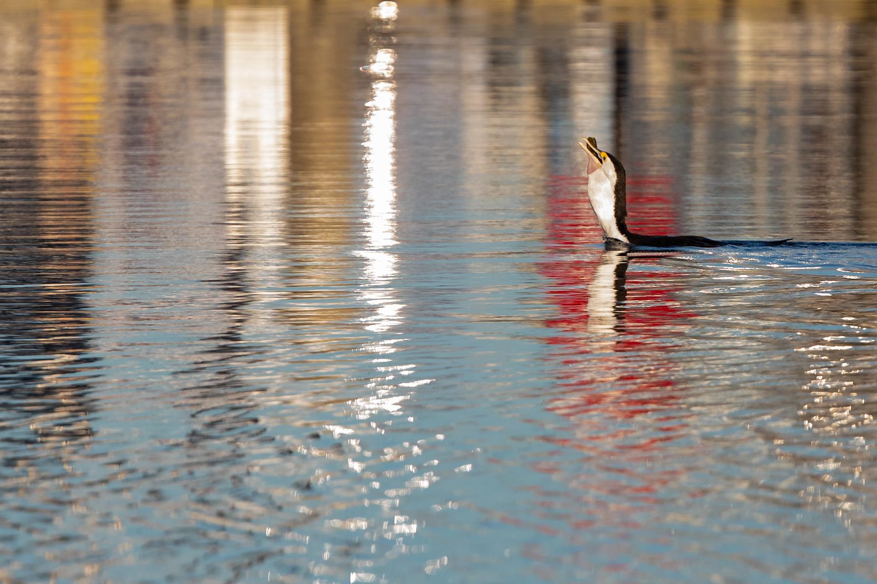 Great Pied Cormorant (Image ID 42905)