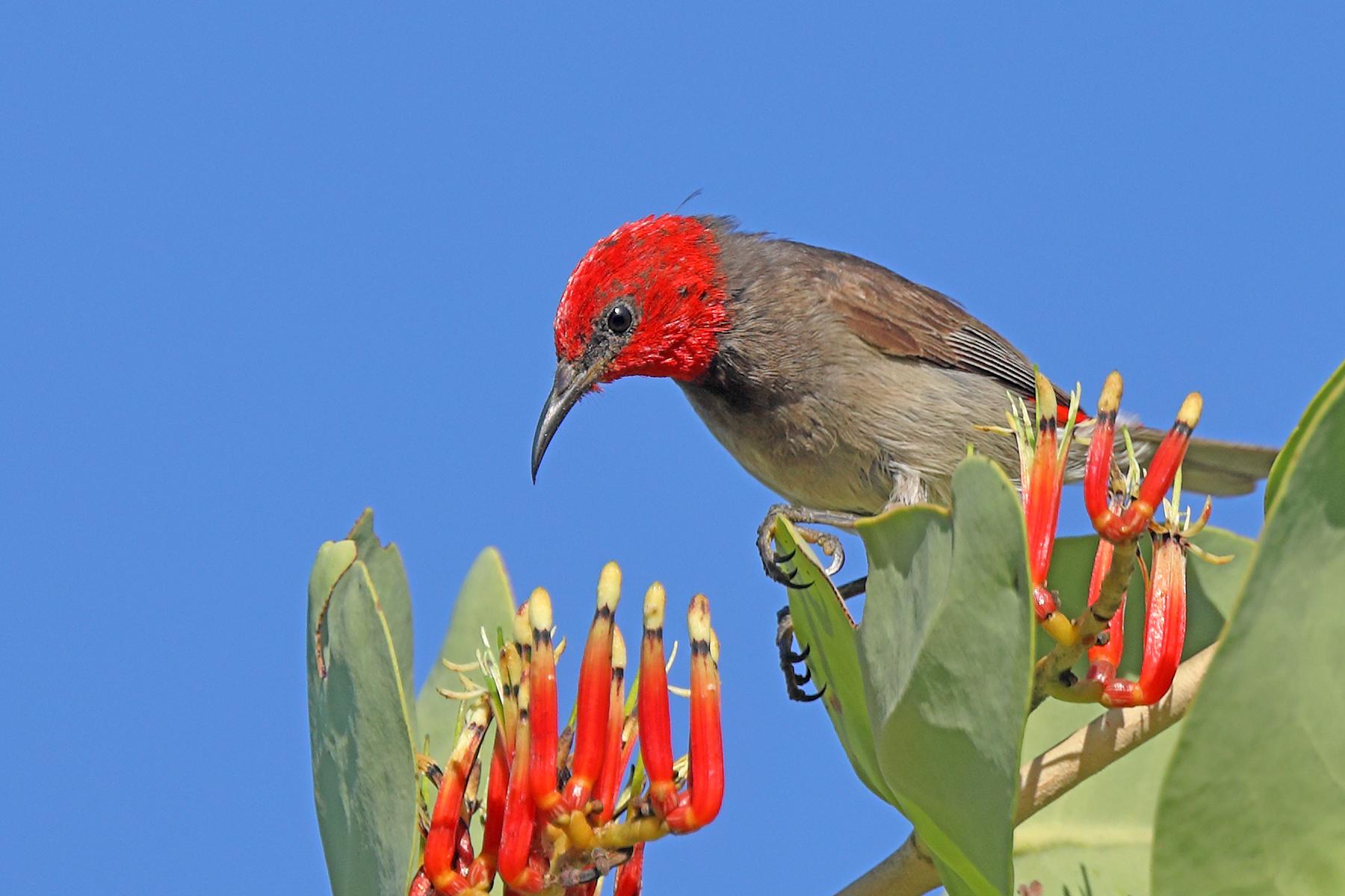 Red-headed Honeyeater (Image ID 43158)